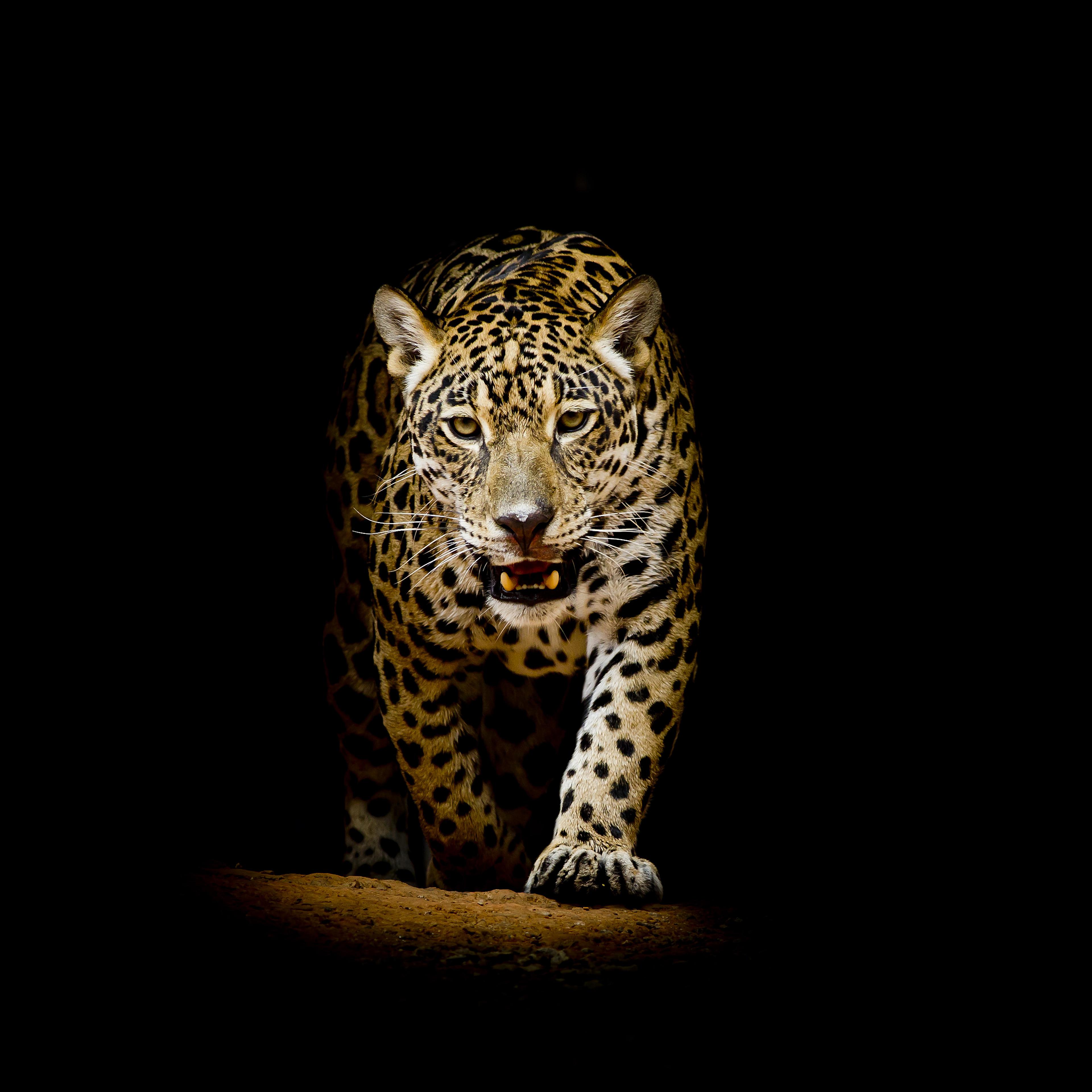 Animals Wallpaper: Leopard 4k Black Background, HD Animals, 4k Wallpapers