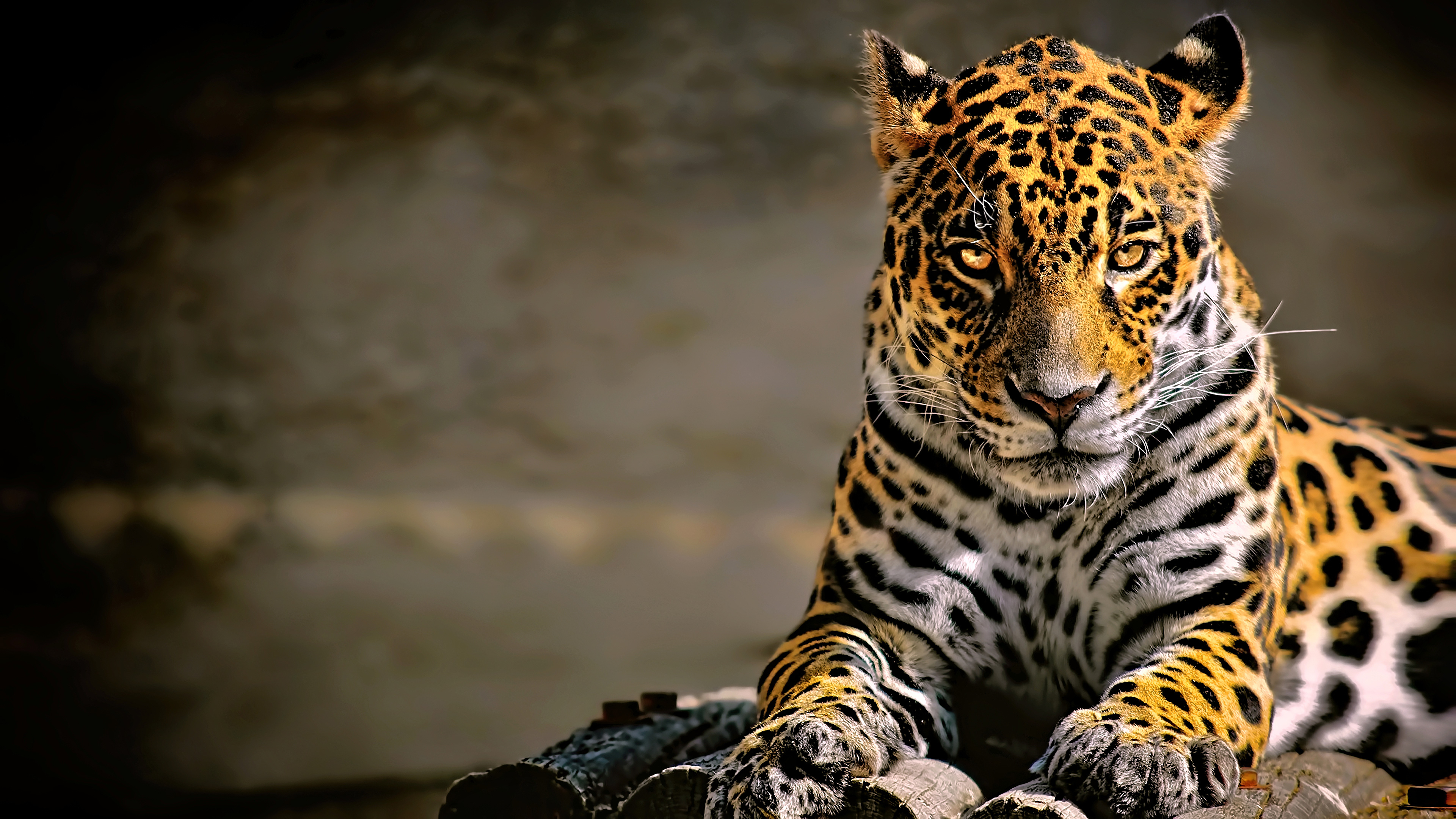 leopard 4k glowing eyes hd animals 4k wallpapers images