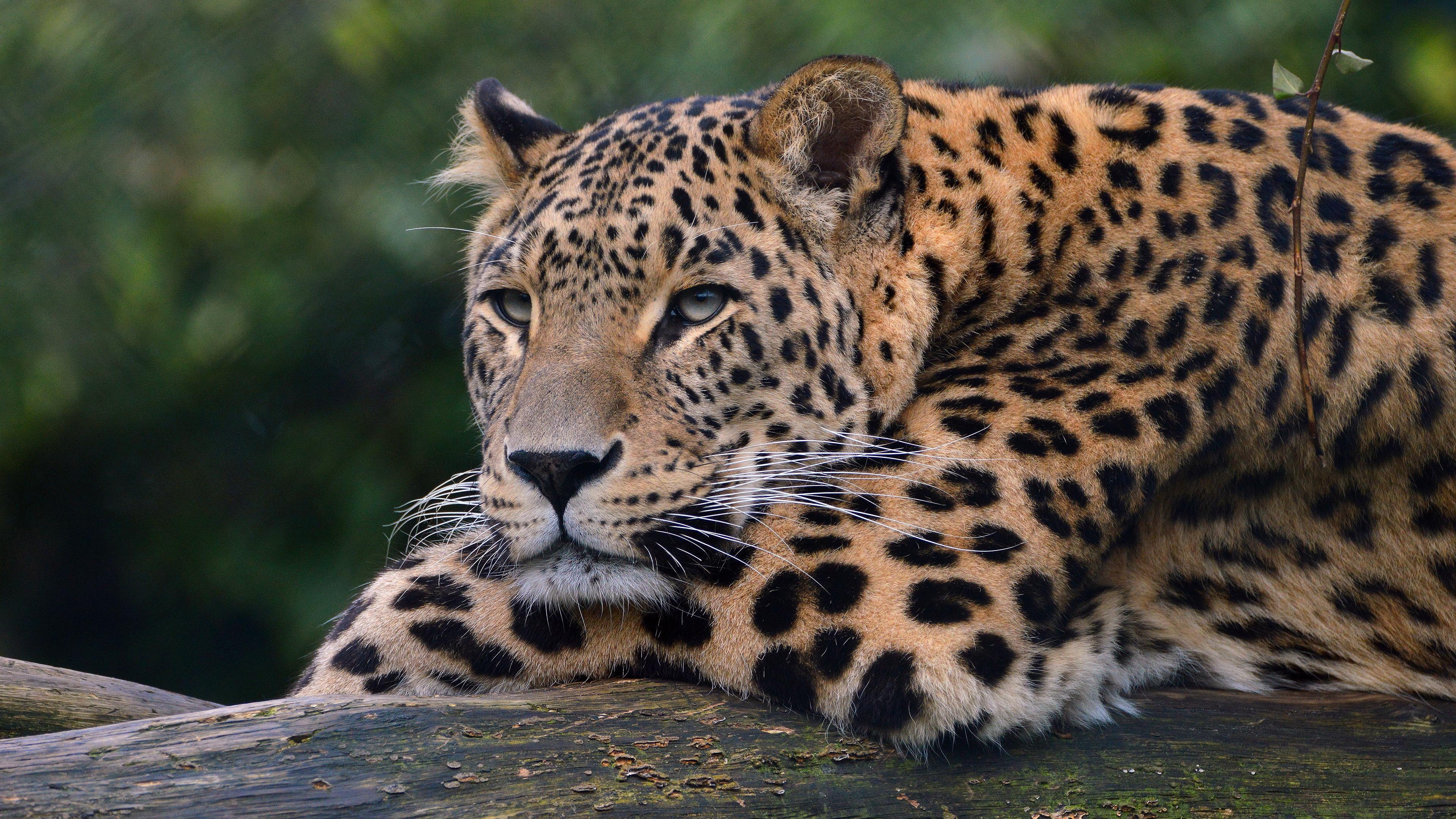 8k Animal Wallpaper Download: Leopard Ultra Hd 4k, HD Animals, 4k Wallpapers, Images
