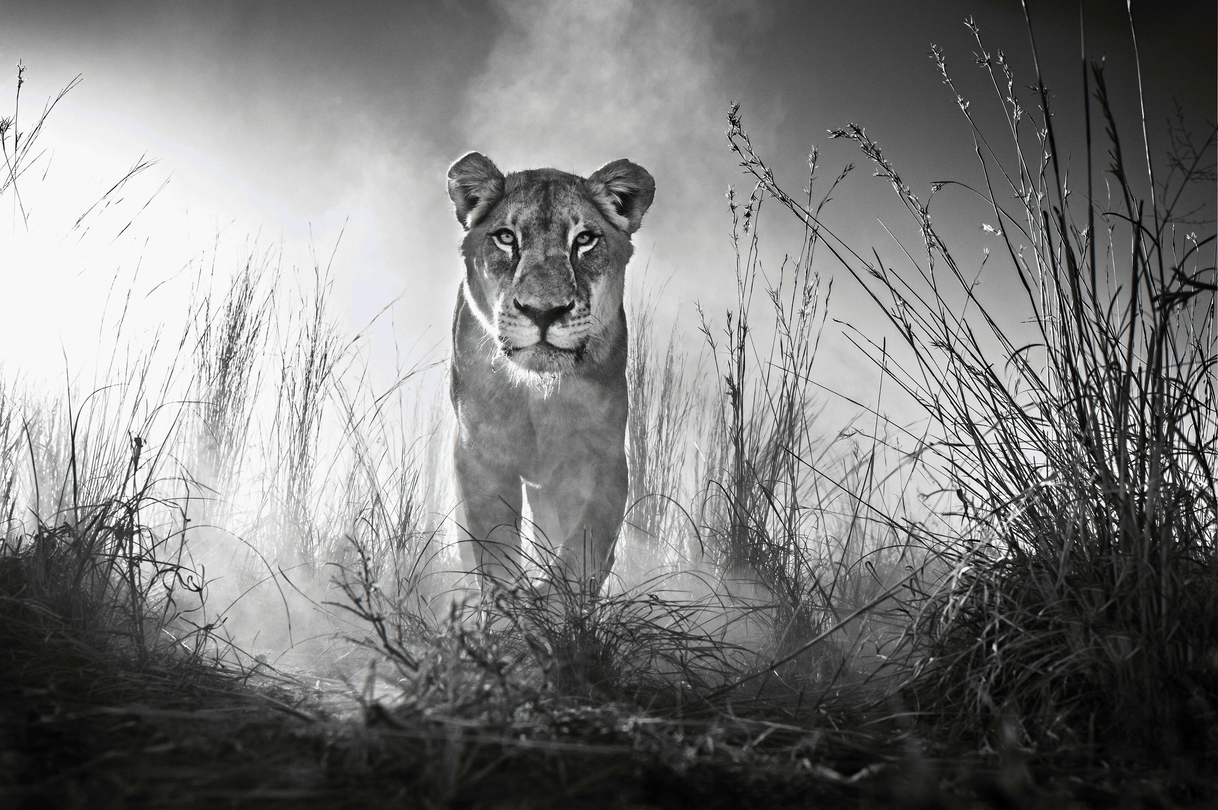 Lion 4k Black And White