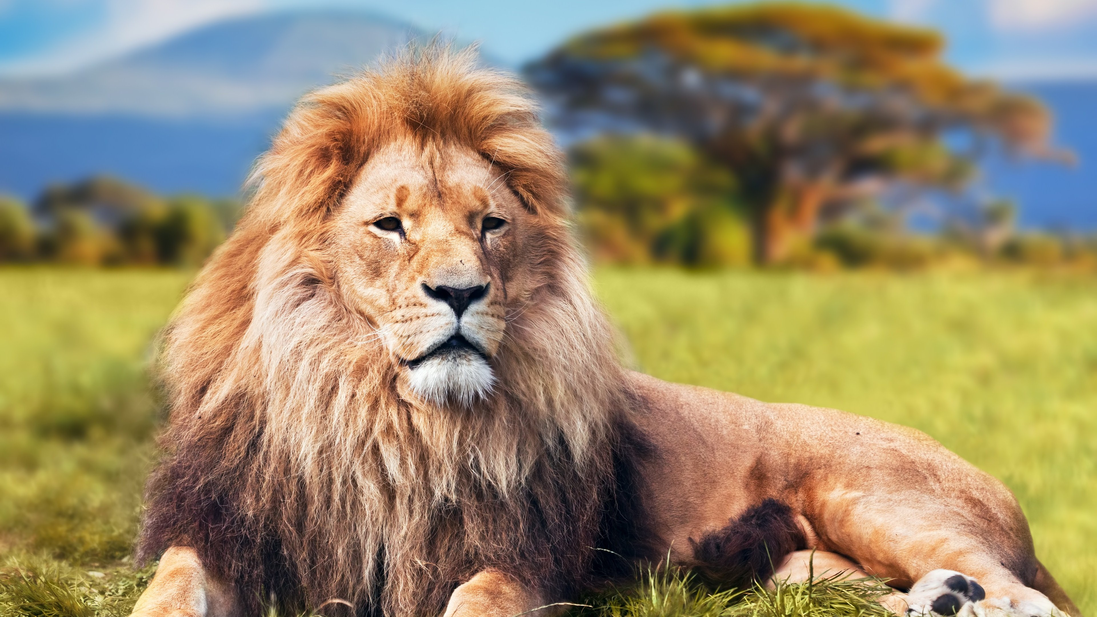 Lion 4k, HD Animals, 4k Wallpapers, Images, Backgrounds ...