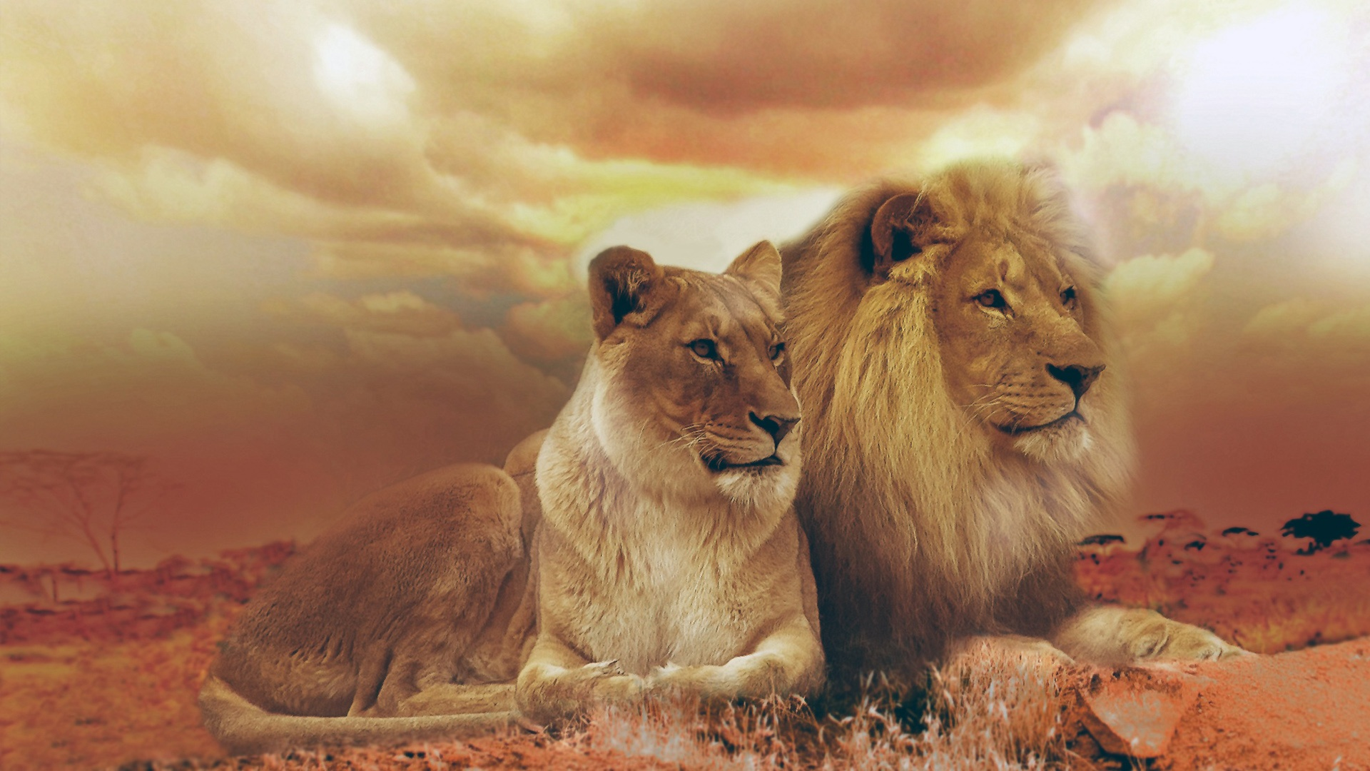lion and lioness, hd animals, 4k wallpapers, images, backgrounds