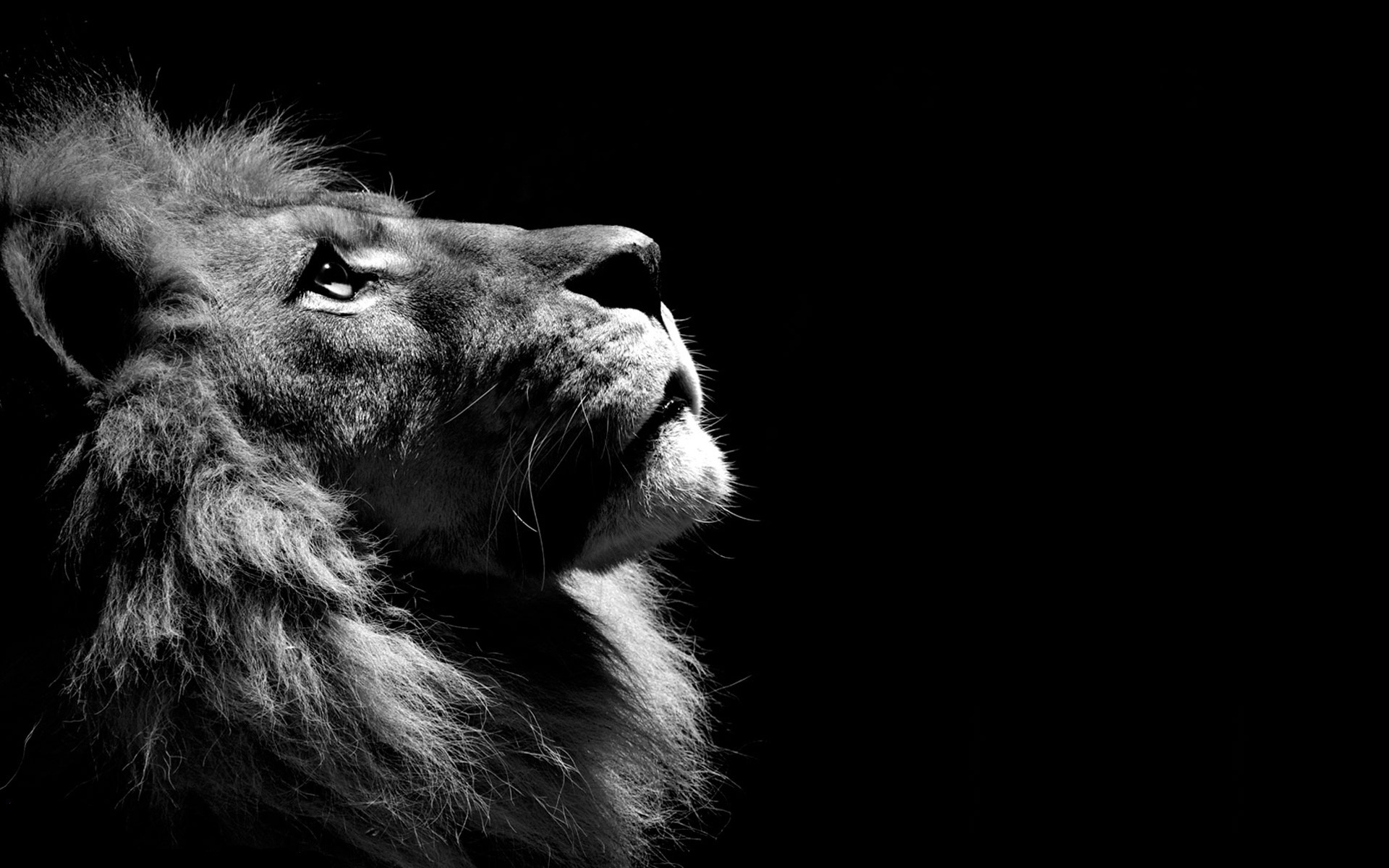 Simple Wallpaper Logo Lion - lion-black-and-white  Picture_884160.jpg