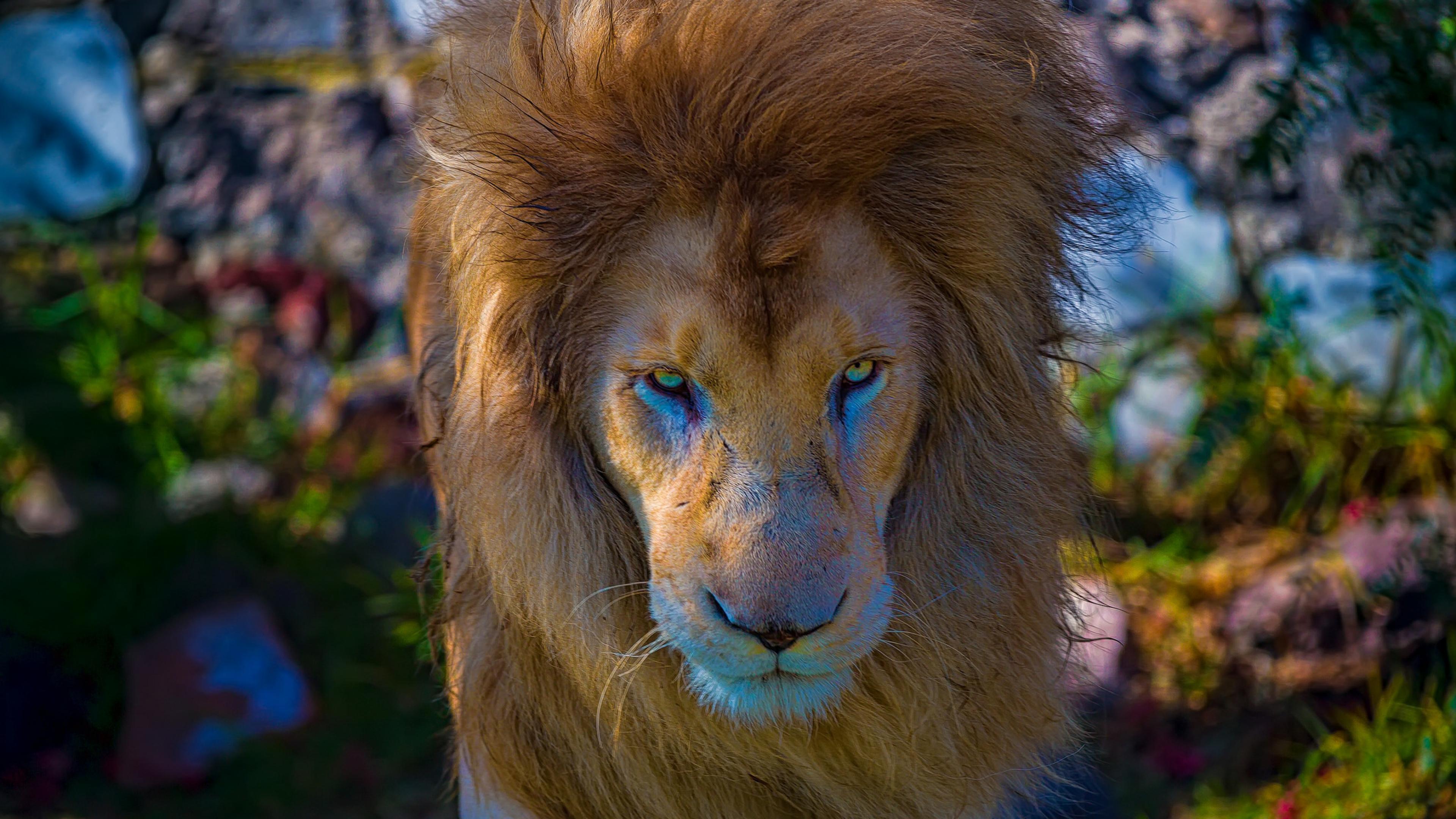 2048x2048 Playerunknowns Battlegrounds 1080p Ipad Air Hd: 2048x2048 Lion Predator Ipad Air HD 4k Wallpapers, Images