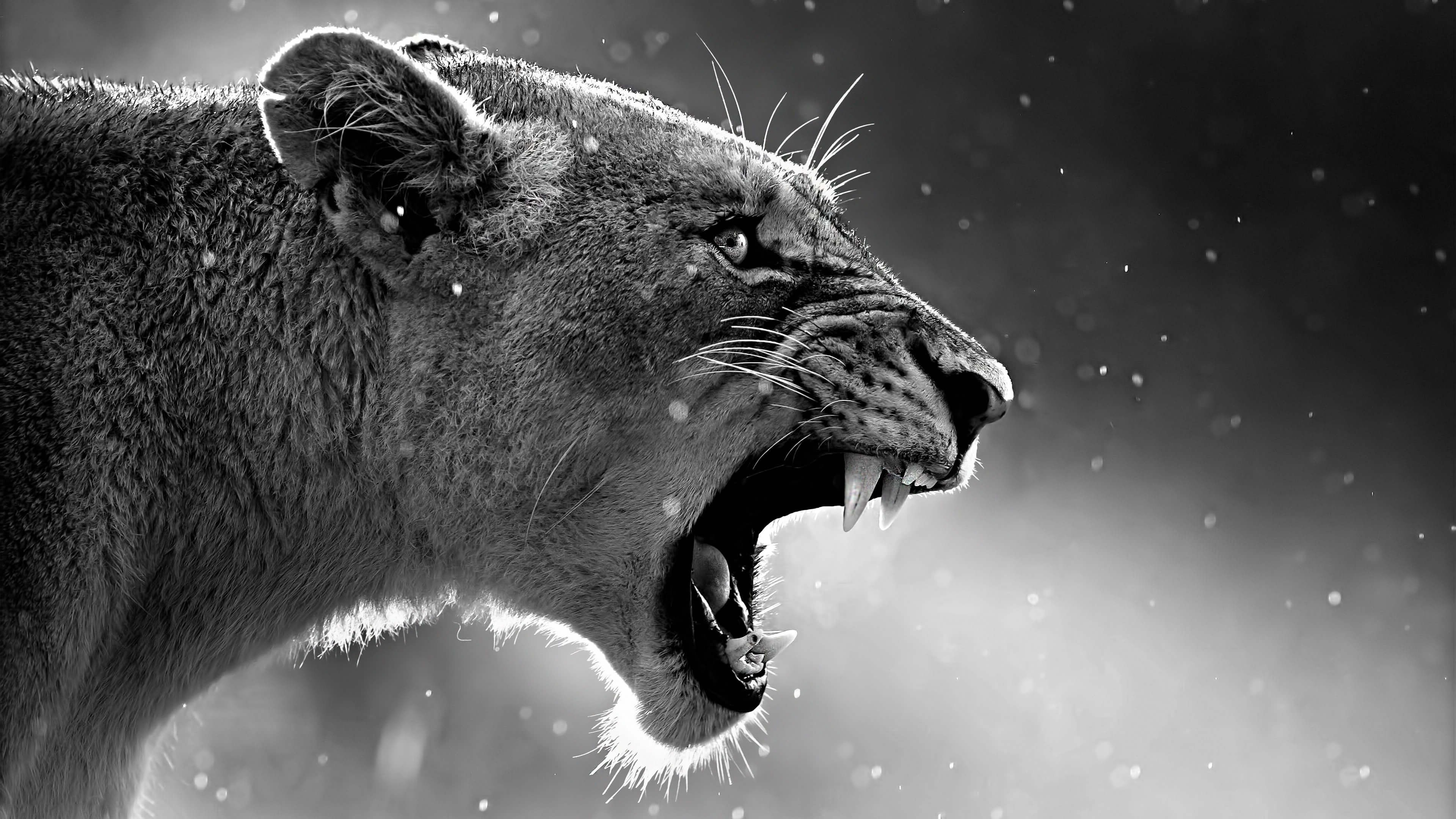 Lion Roaring, HD Animals, 4k Wallpapers, Images