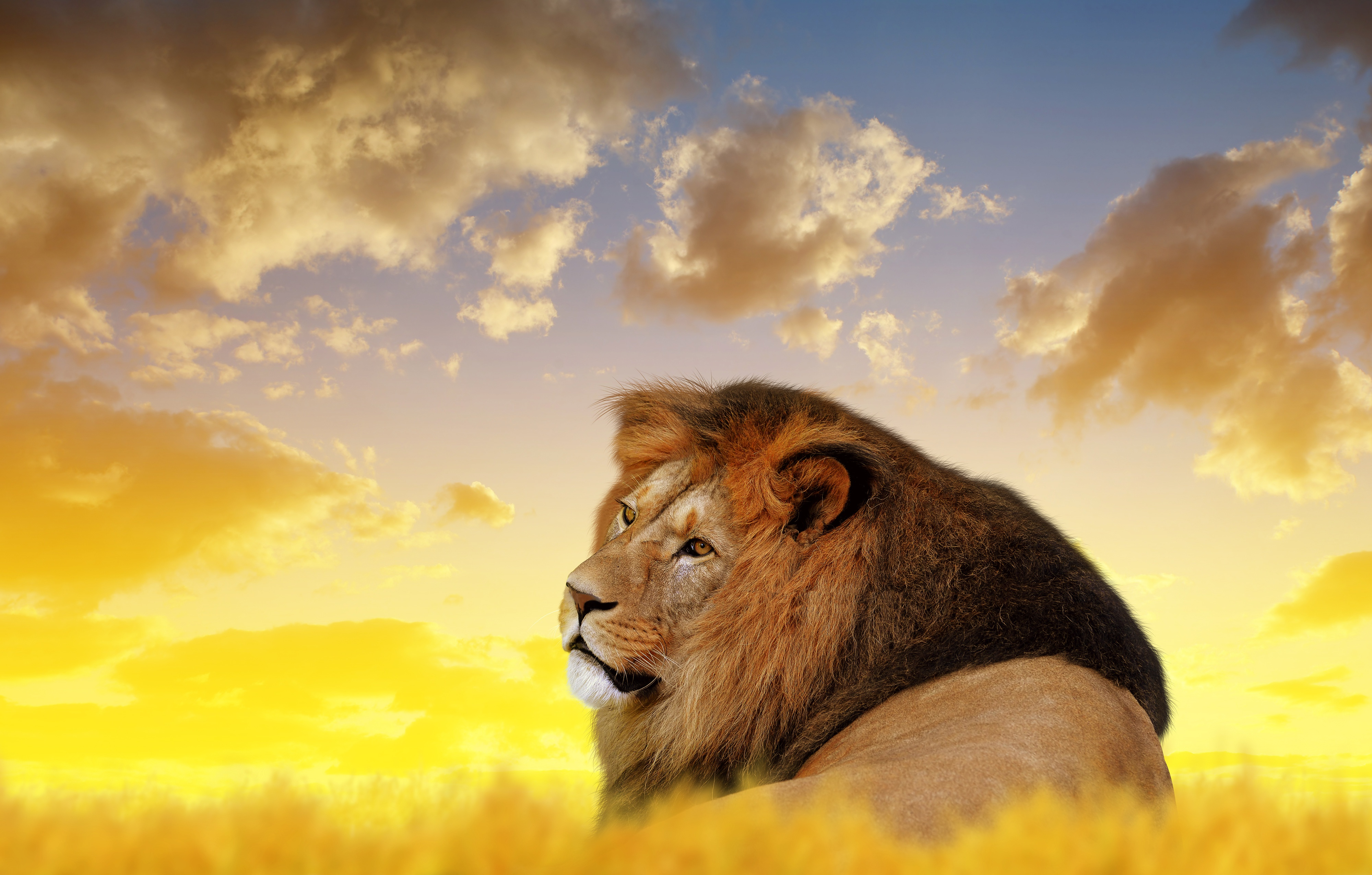 Lion Ultra Hd 4k Hd Animals 4k Wallpapers Images