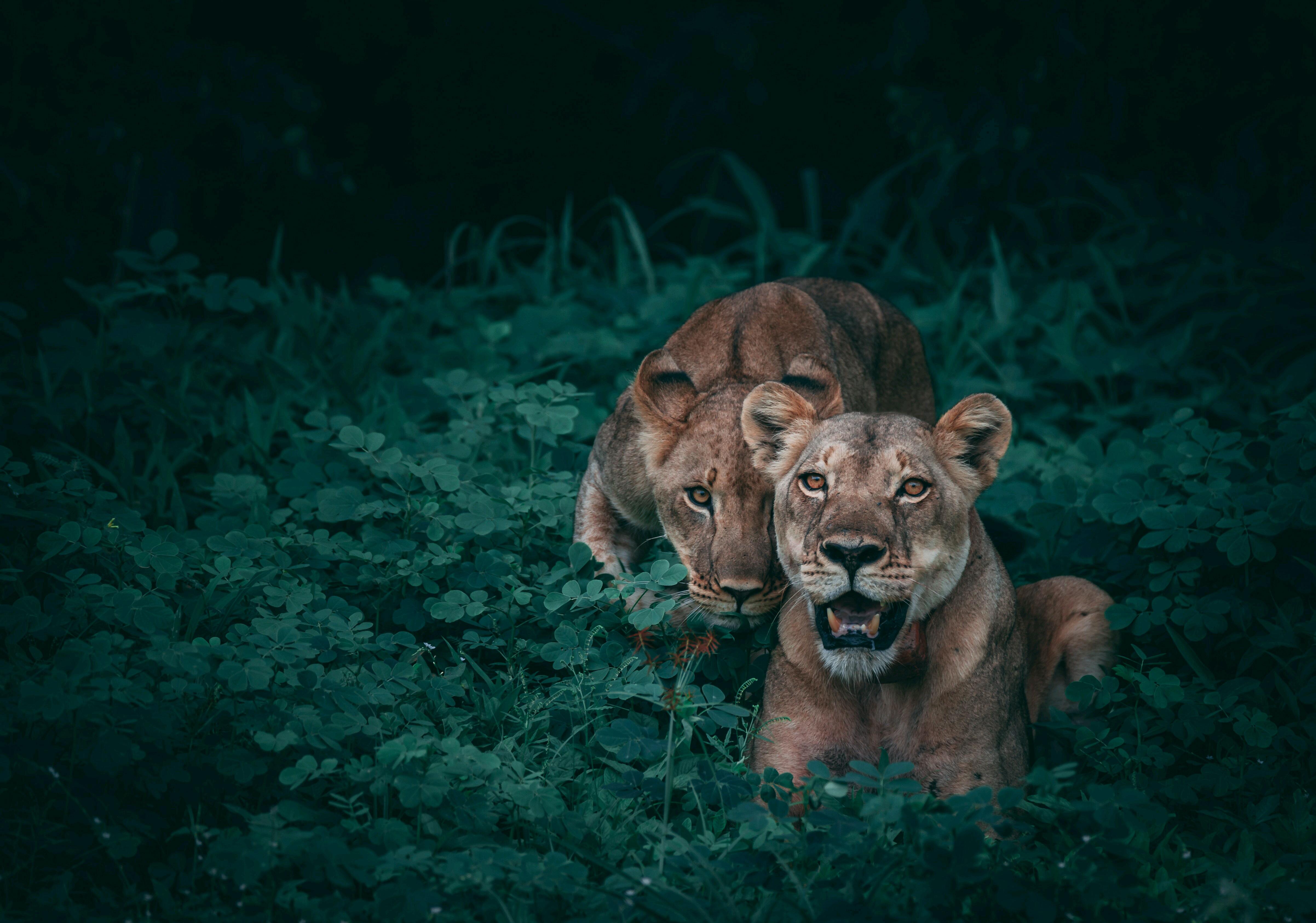 Lions wildlife 5k hd animals 4k wallpapers images - Lion 4k wallpaper for mobile ...