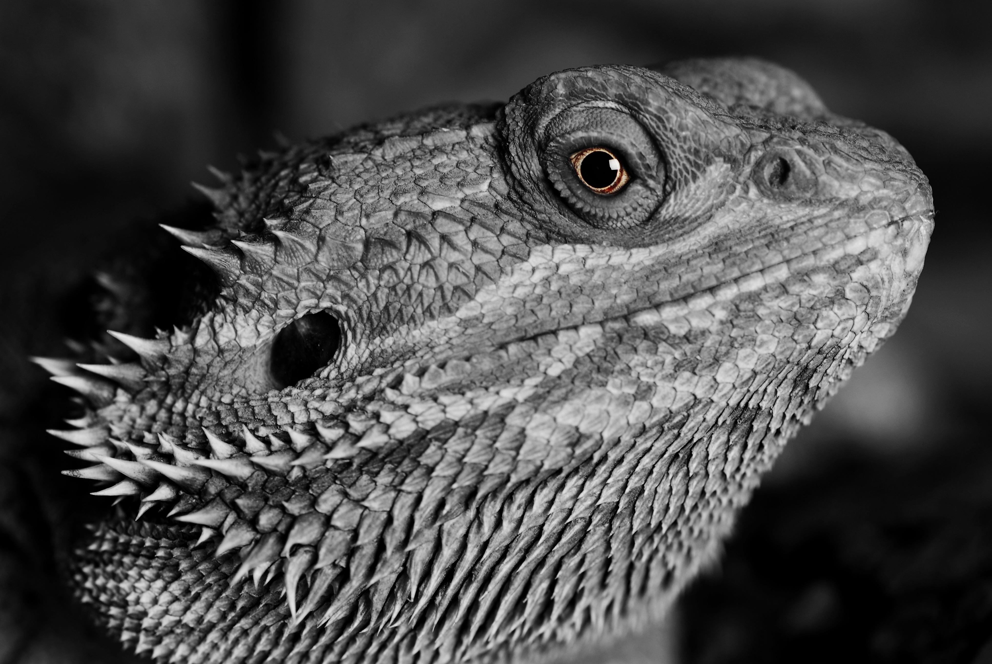 320x240 Lizard Reptile Monochrome 4k Apple Iphone Ipod Touch
