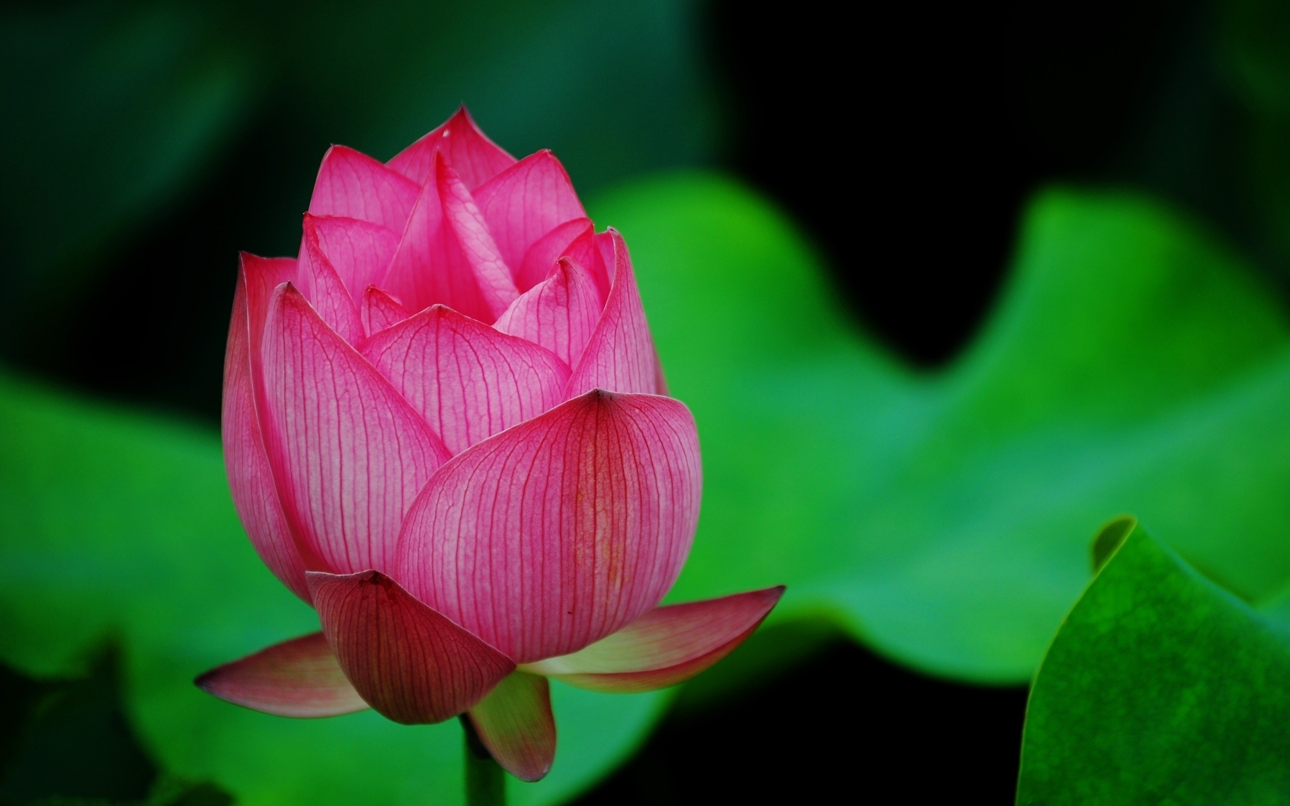 2560x1440 Lotus Flower Pink 1440p Resolution Hd 4k Wallpapers