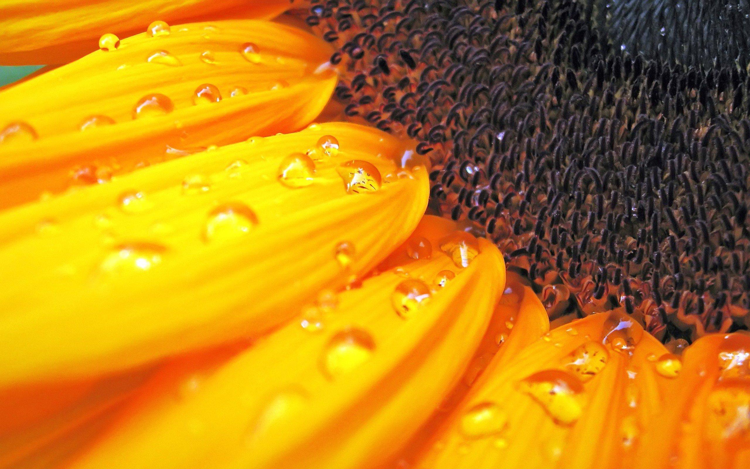 Sunflowers Macro Wallpapers Free Wallpapers