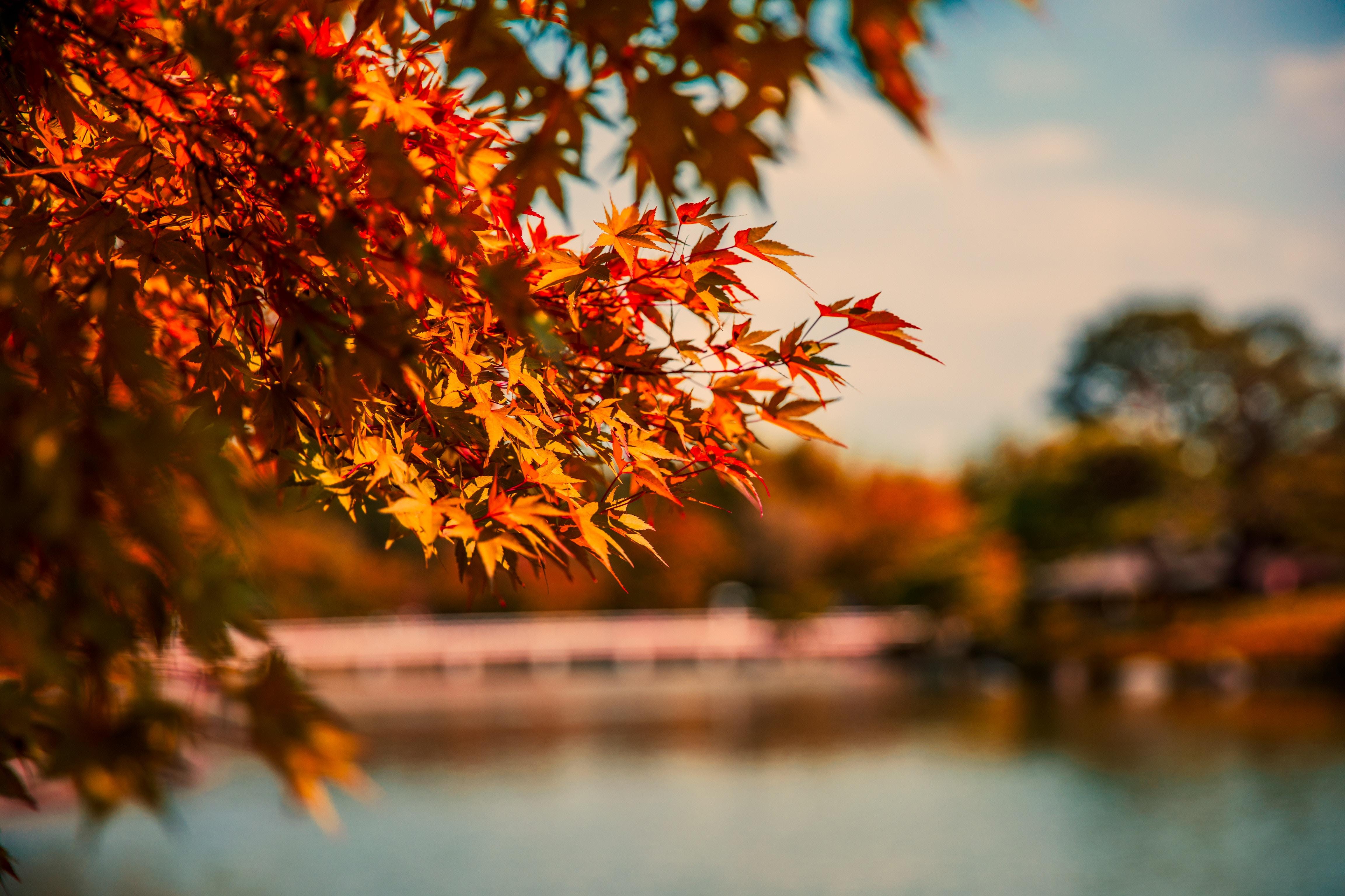 1360x768 Maple Tree Autumn Lake 5k Laptop Hd Hd 4k