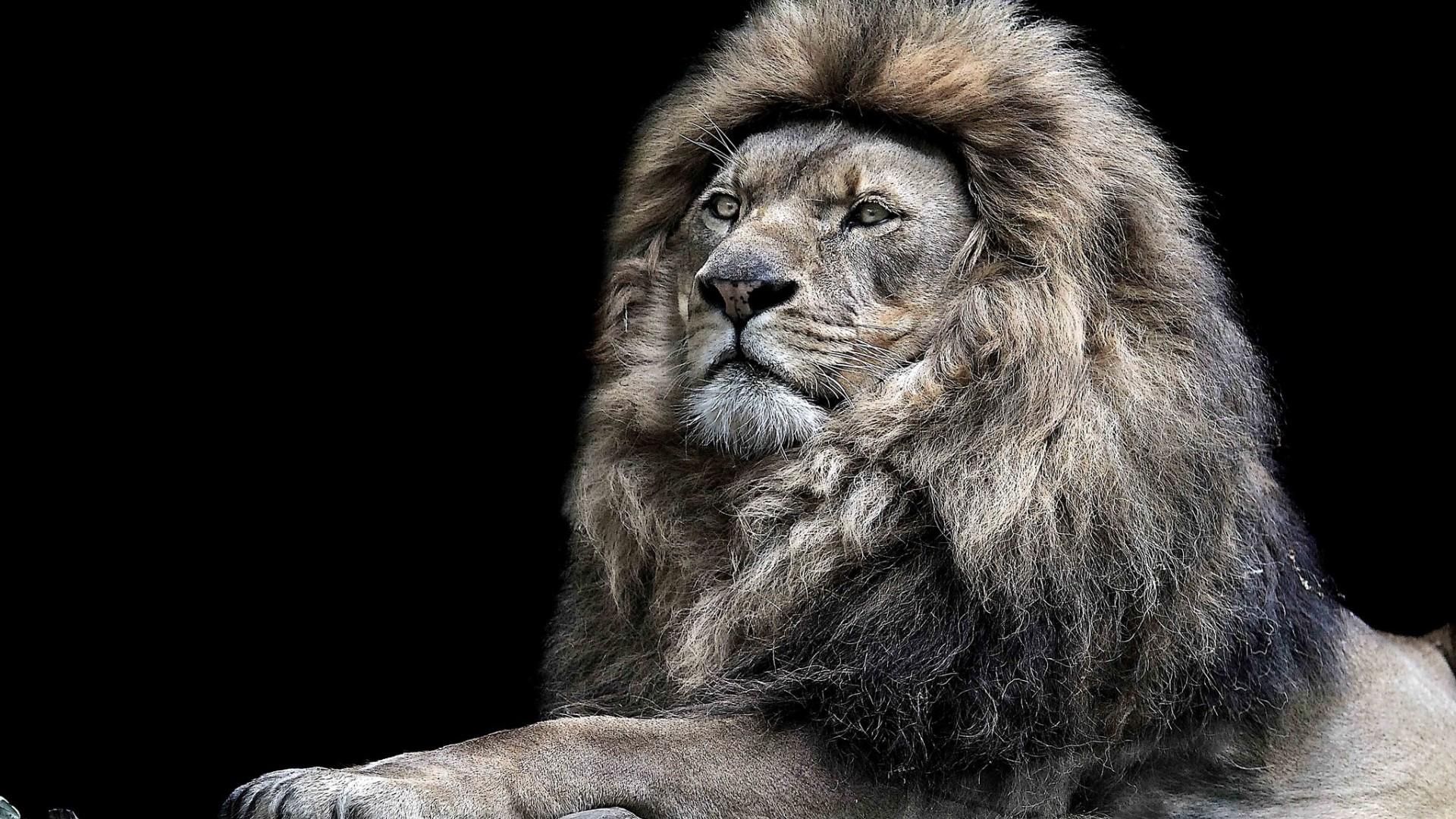 Monochrome lion hd animals 4k wallpapers images - Lion 4k wallpaper for mobile ...
