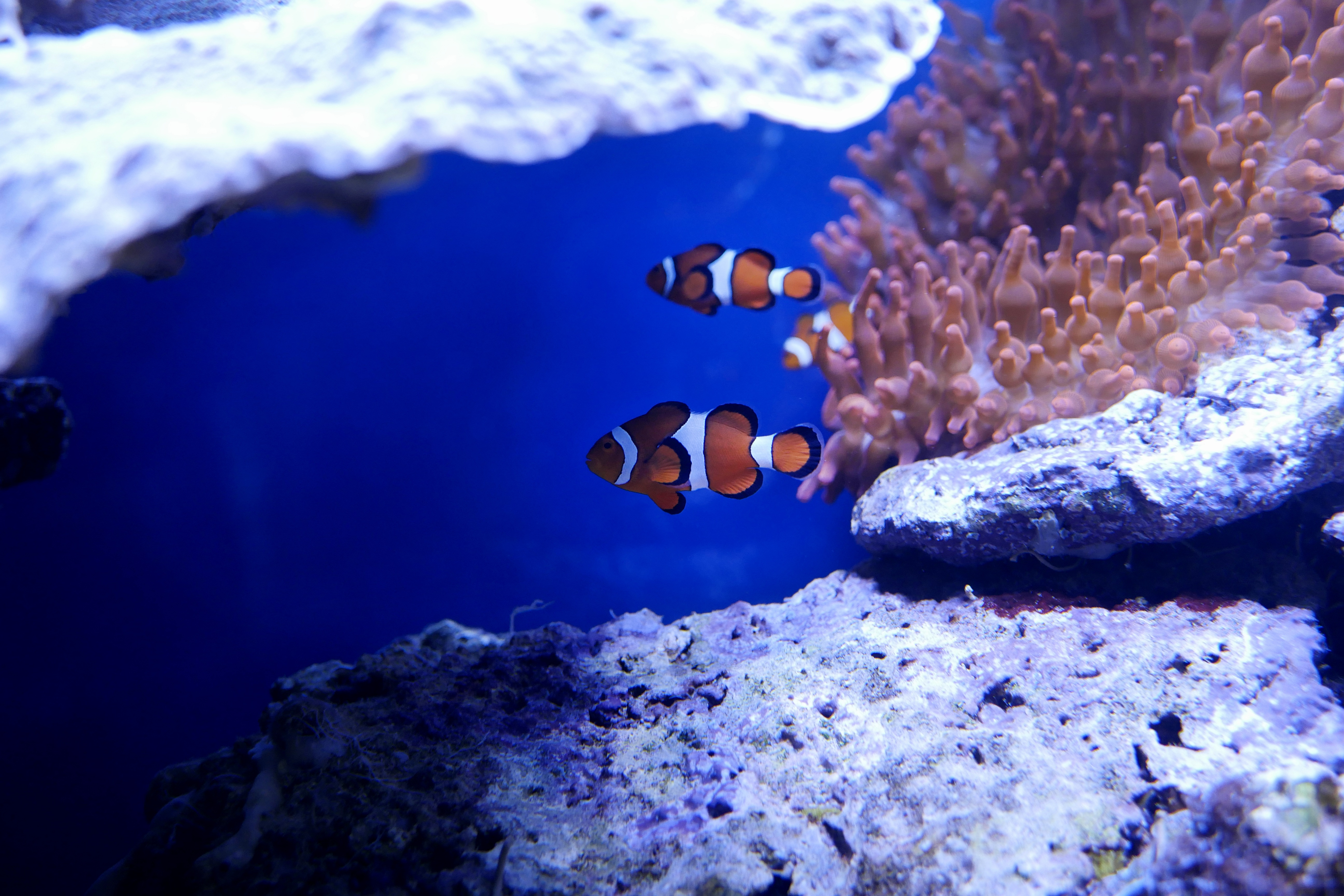 Nemo Fish In Real Underwater 5k