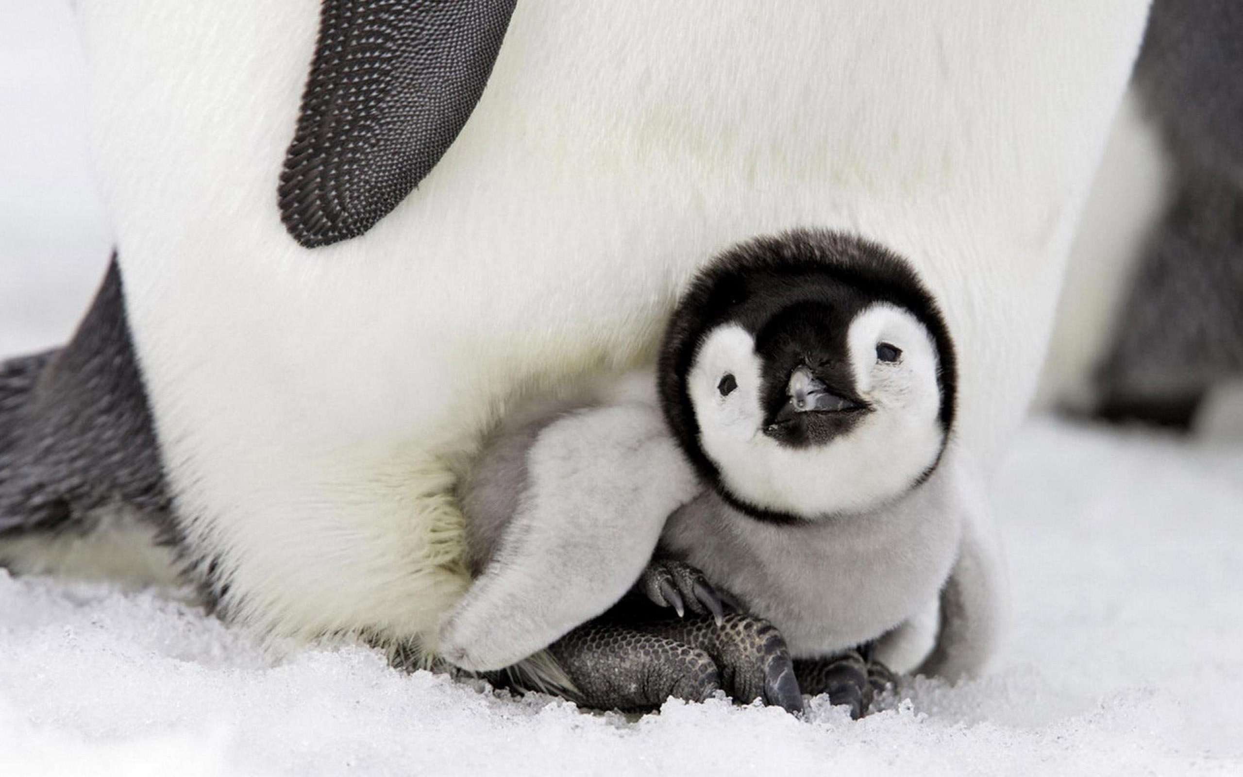 Penguin Baby 2048x1152 Resolution