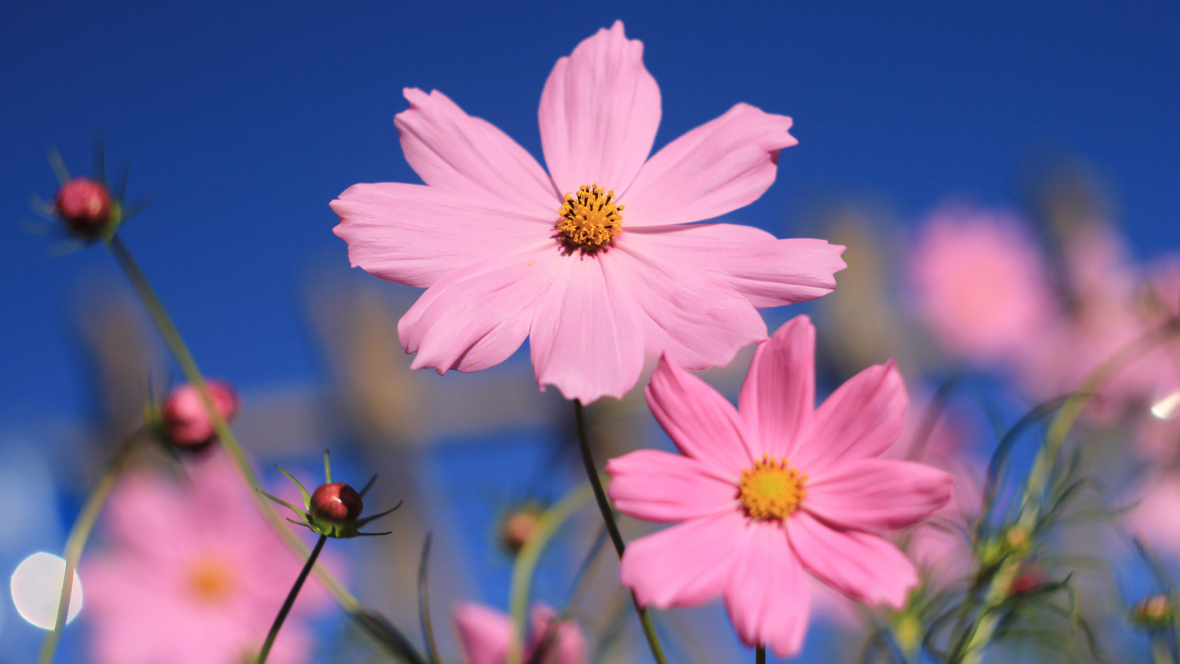 Pink cosmos flower hd flowers 4k wallpapers images backgrounds pink cosmos flower mightylinksfo