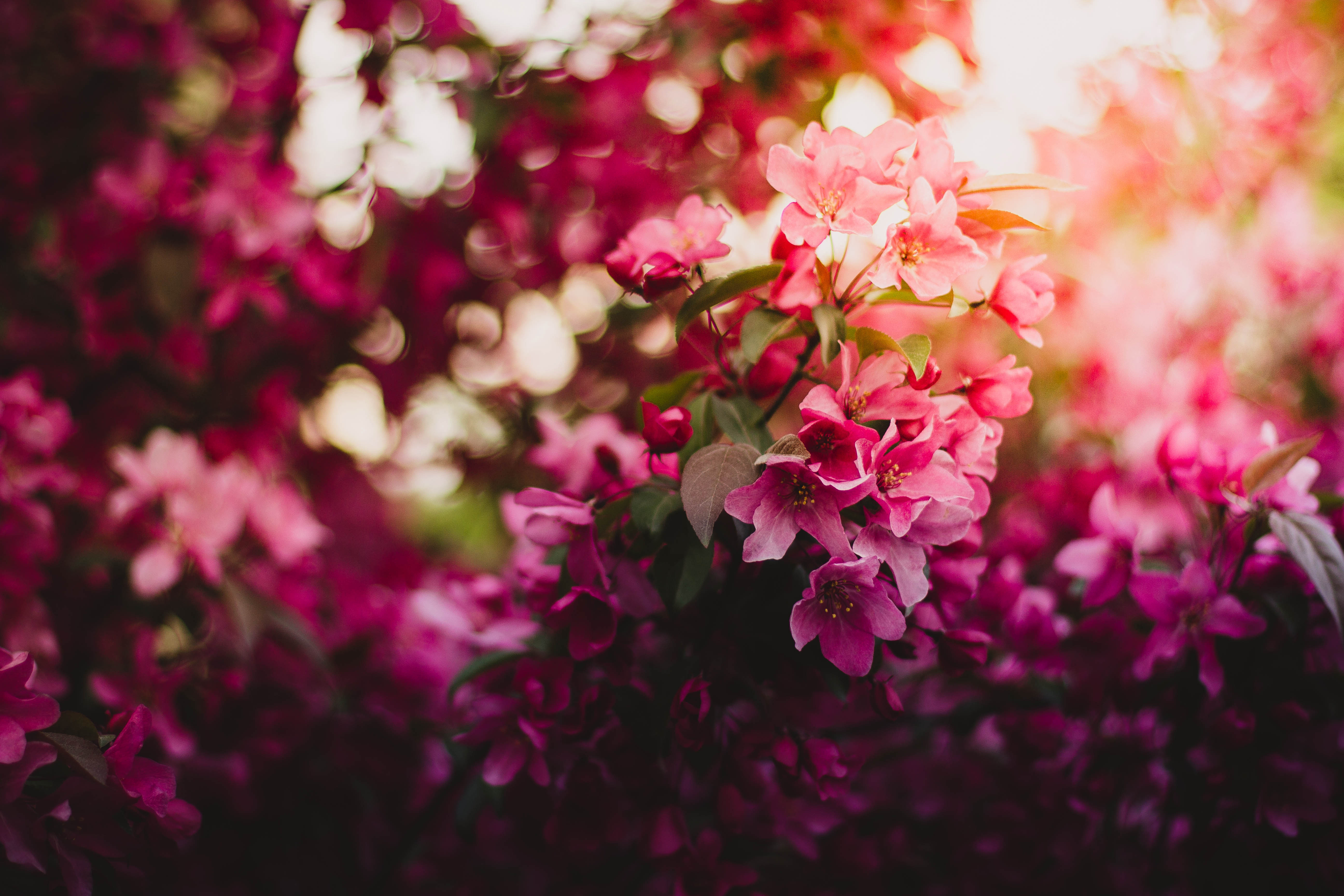 Pink Flowers On Tree 5k Hd Flowers 4k Wallpapers Images