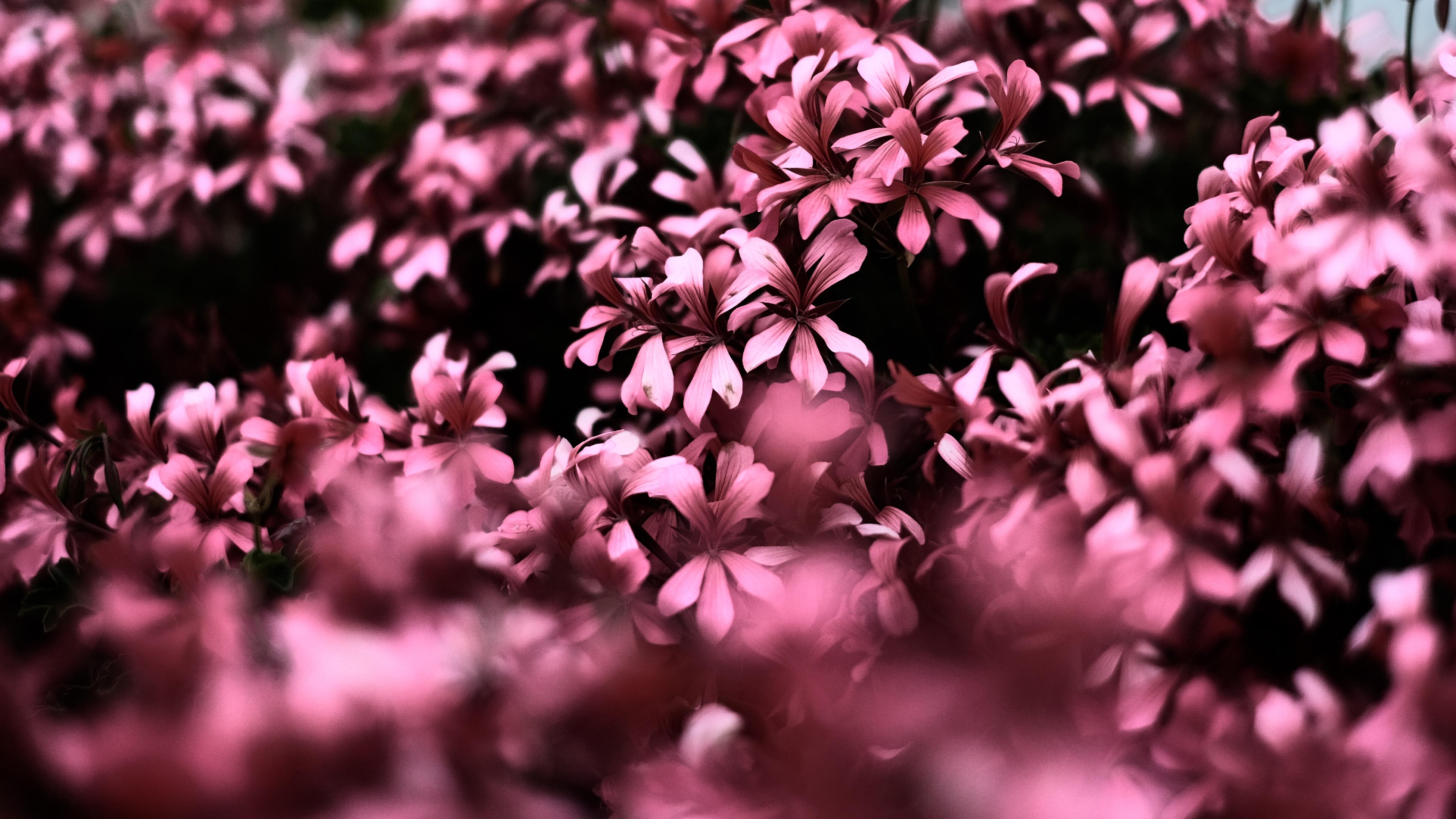 Pink flowers ultra hd blur 4k hd flowers 4k wallpapers - Pink wallpaper 4k ...