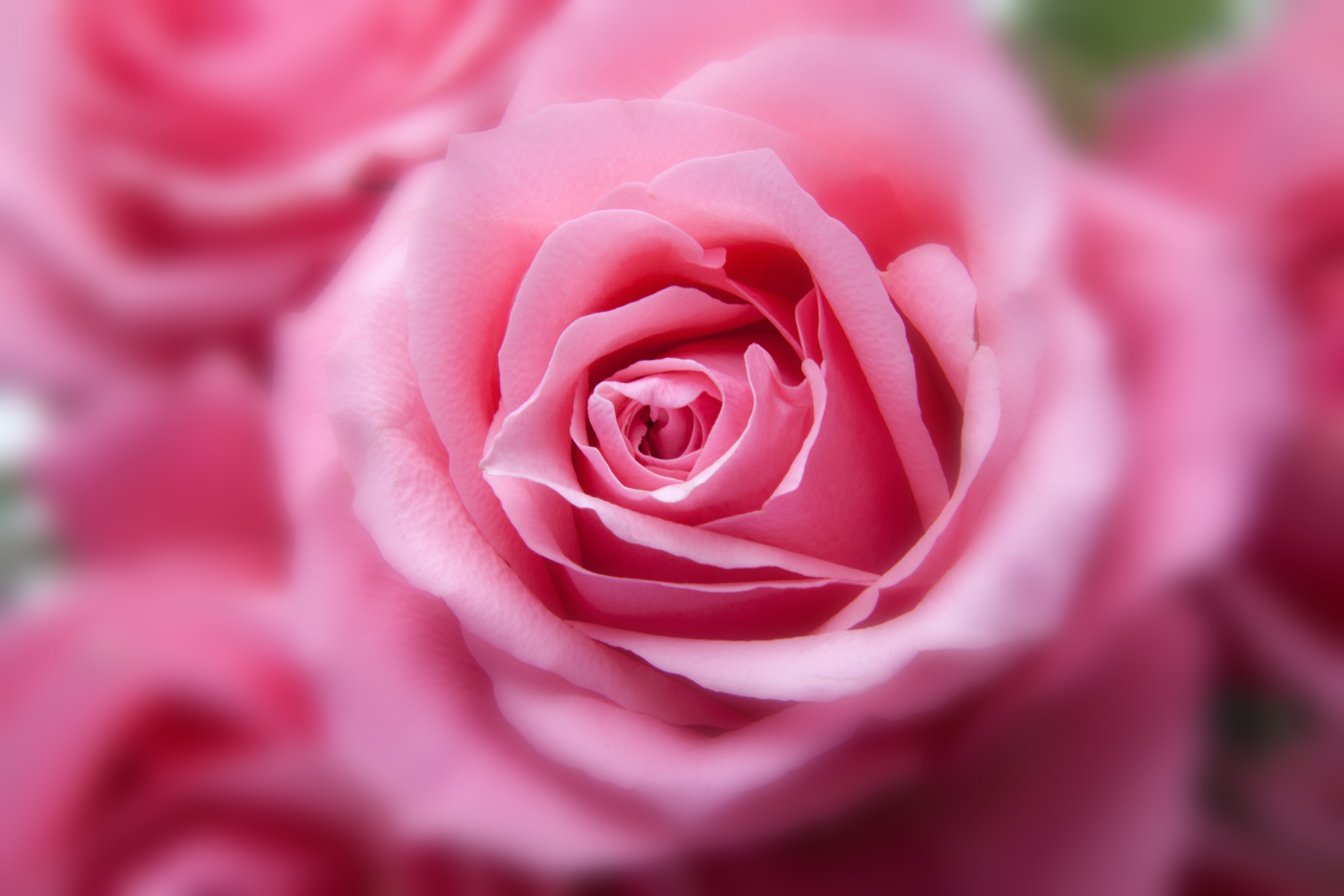 2048x1152 pink rose hd 2048x1152 resolution hd 4k wallpapers images