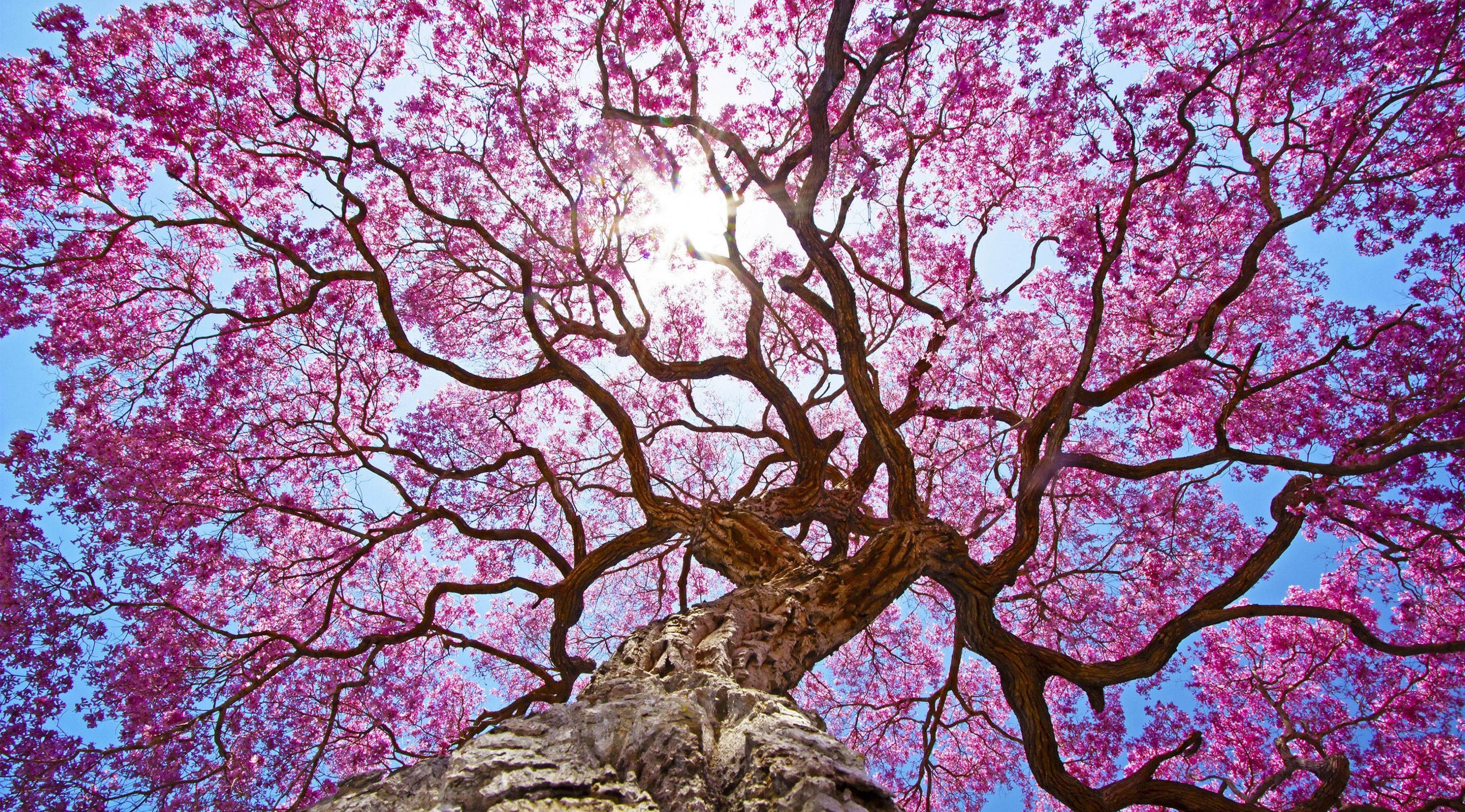 Pink tree 4k hd nature 4k wallpapers images - Pink wallpaper 4k ...