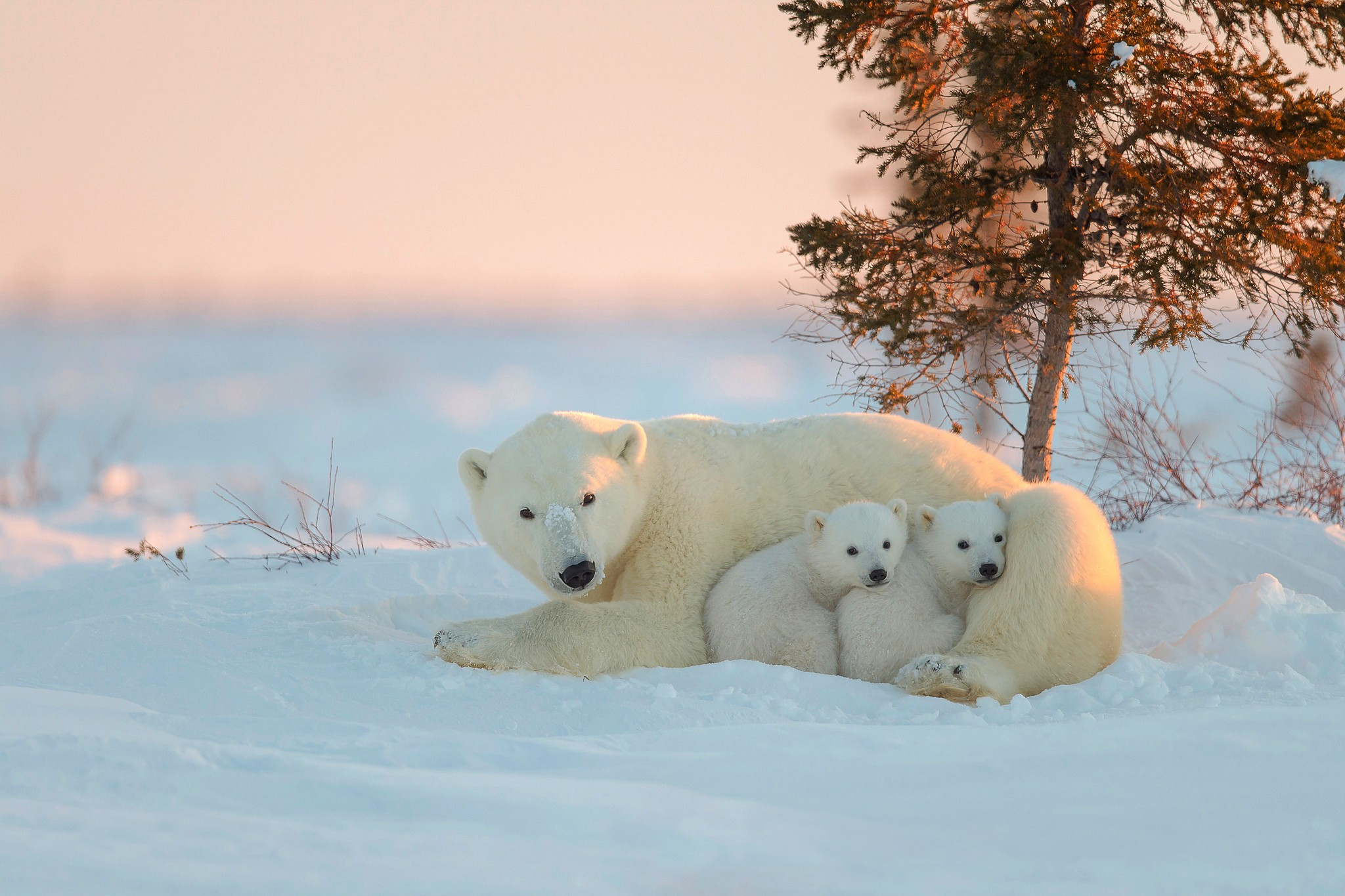 Polar Bear With Baby, HD Animals, 4k Wallpapers, Images