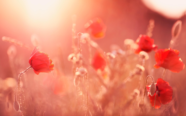 Poppy flowers hd flowers 4k wallpapers images backgrounds poppy flowers mightylinksfo