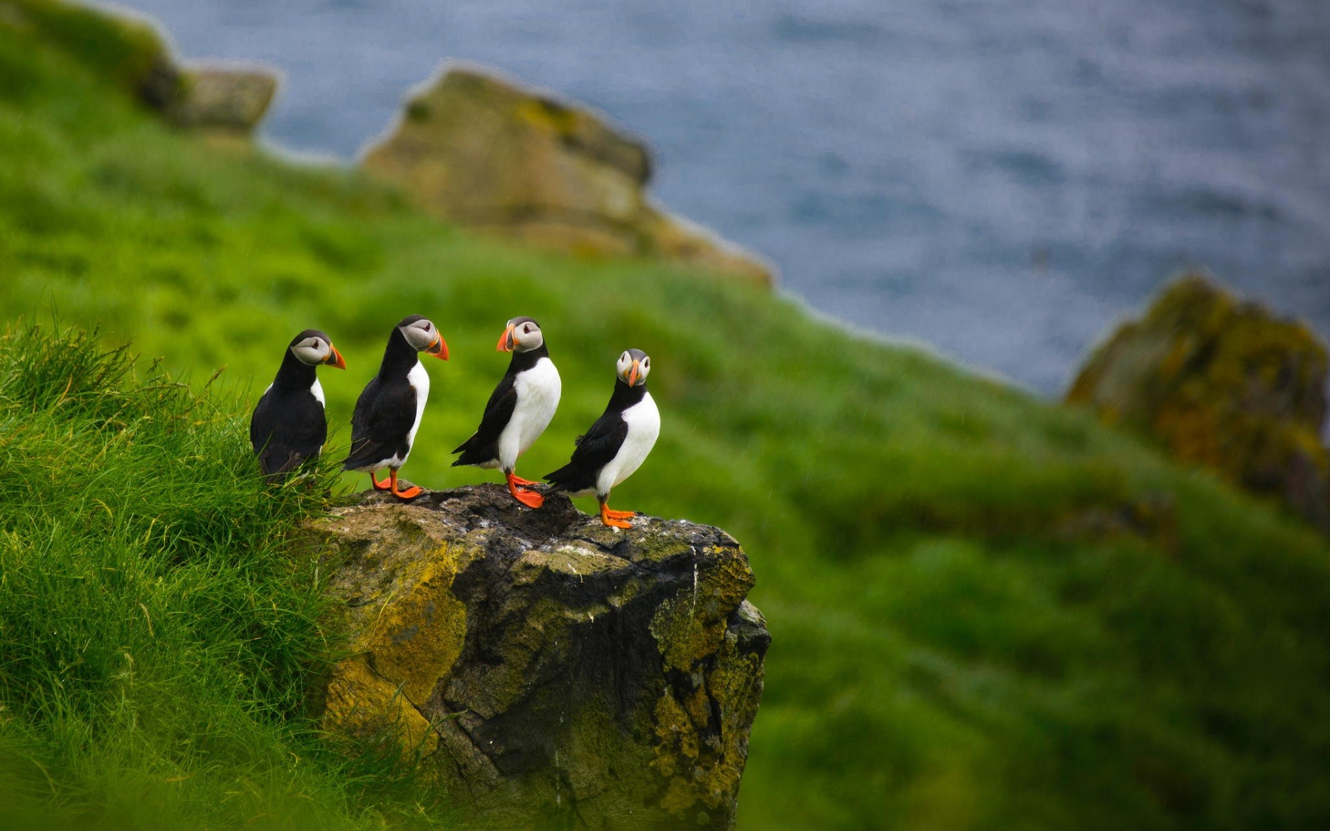 puffins  hd birds  4k wallpapers  images  backgrounds  photos and pictures