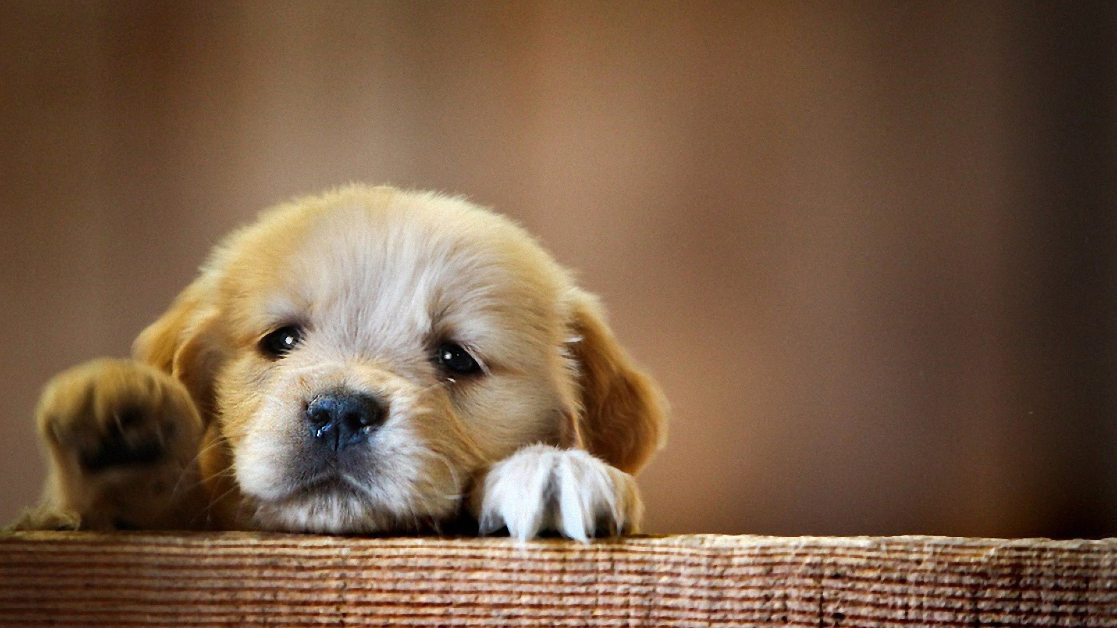 Puppy Snout Dog 1366x768 Resolution