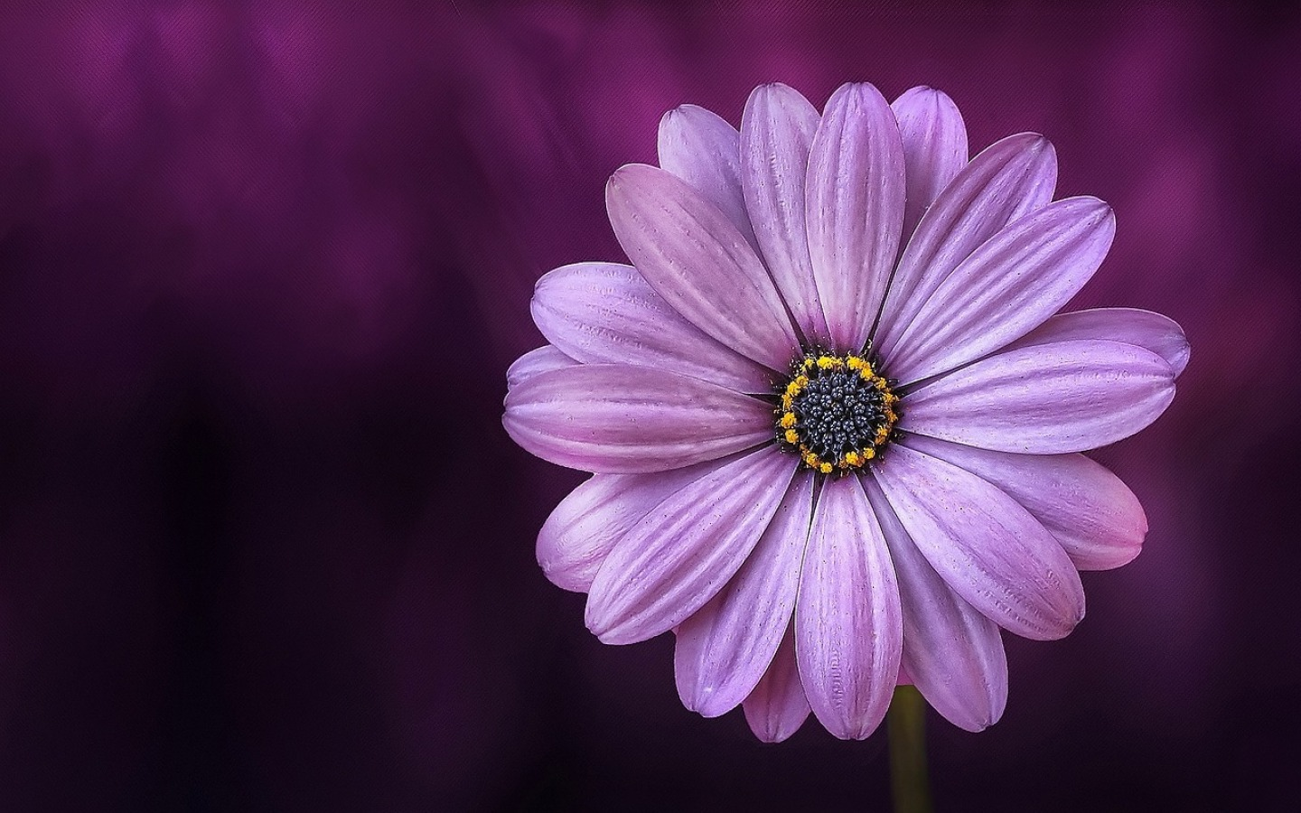 Purple Daisy Flower, HD Flowers, 4k Wallpapers, Images, Backgrounds, Photos And Pictures
