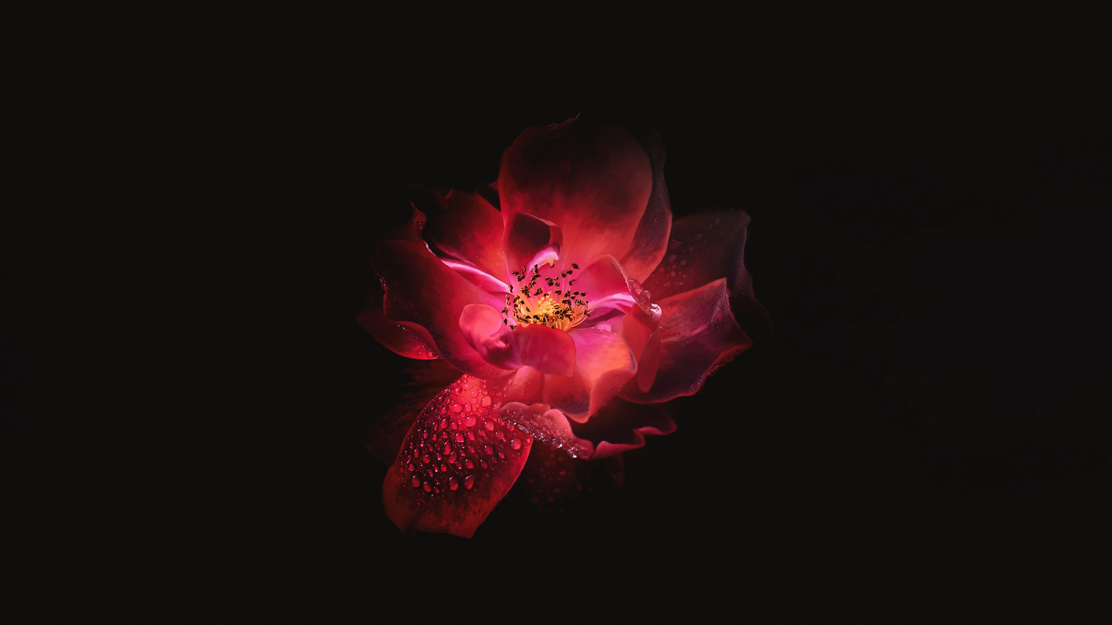Red Flower Black Background 4k Hd Flowers 4k Wallpapers