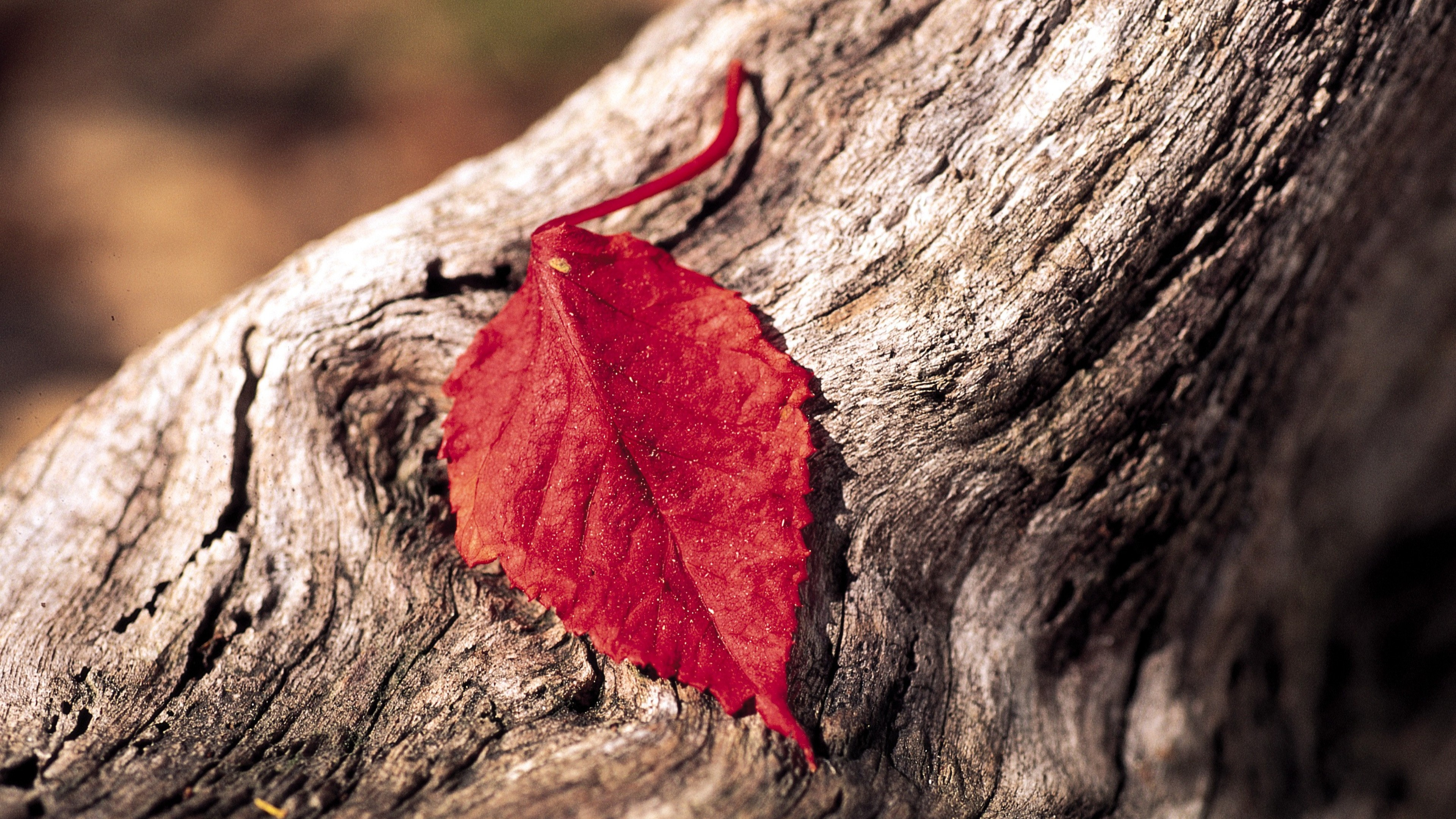 red leaf, hd flowers, 4k wallpapers, images, backgrounds, photos and