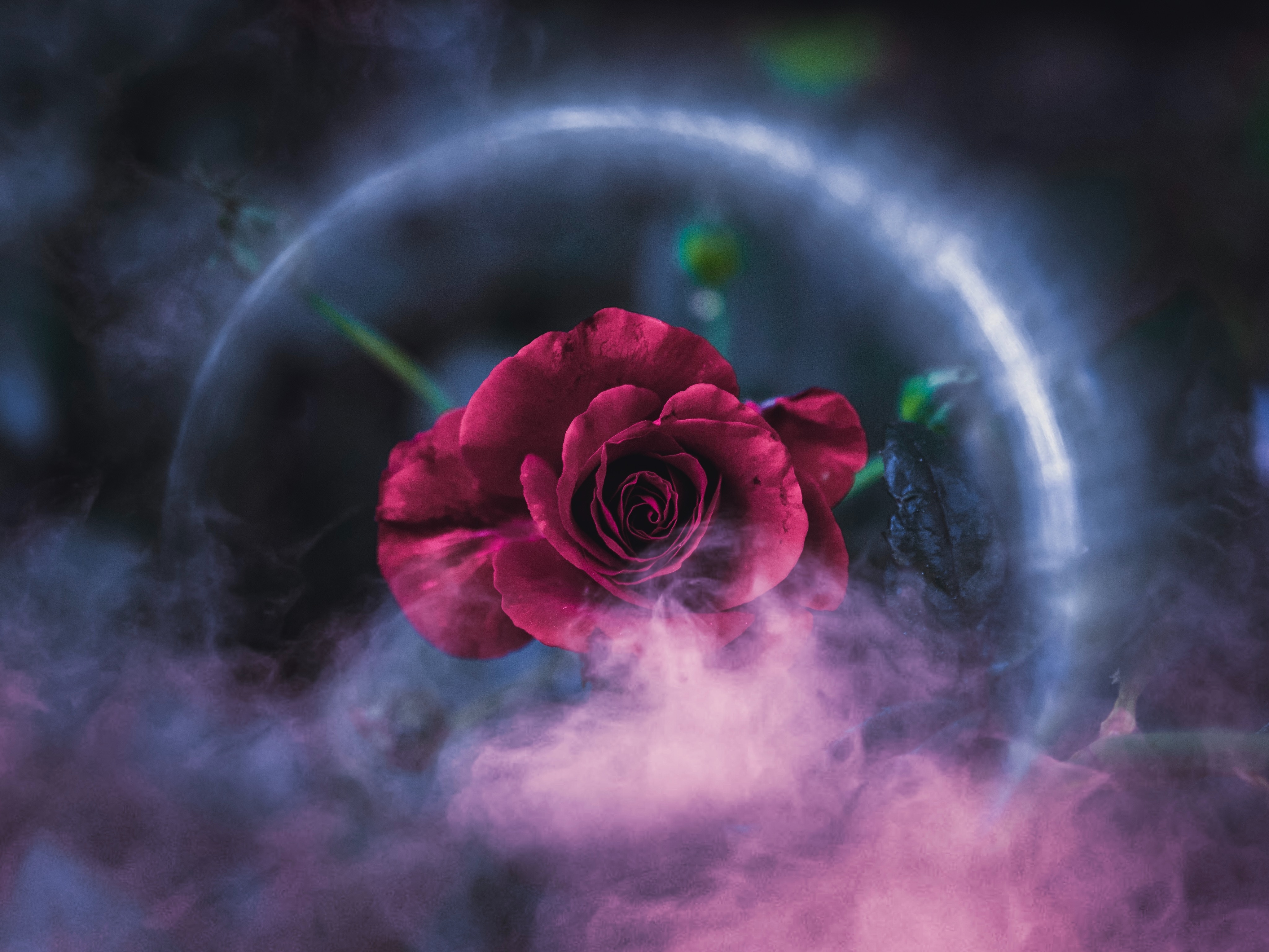 Rose Dreamy 4k, HD Flowers, 4k Wallpapers, Images ...