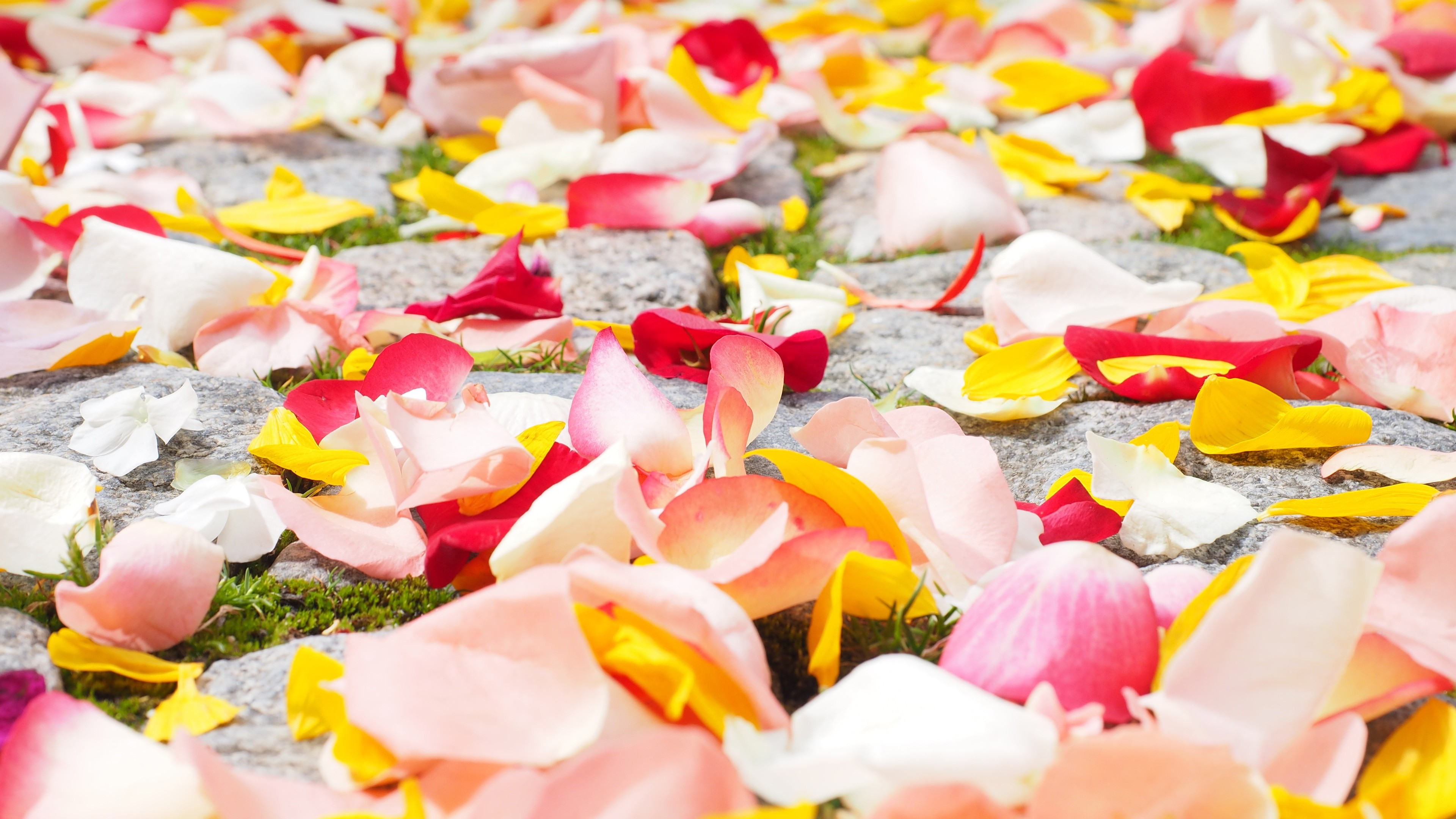 Rose Petals, HD Flowers, 4k Wallpapers, Images