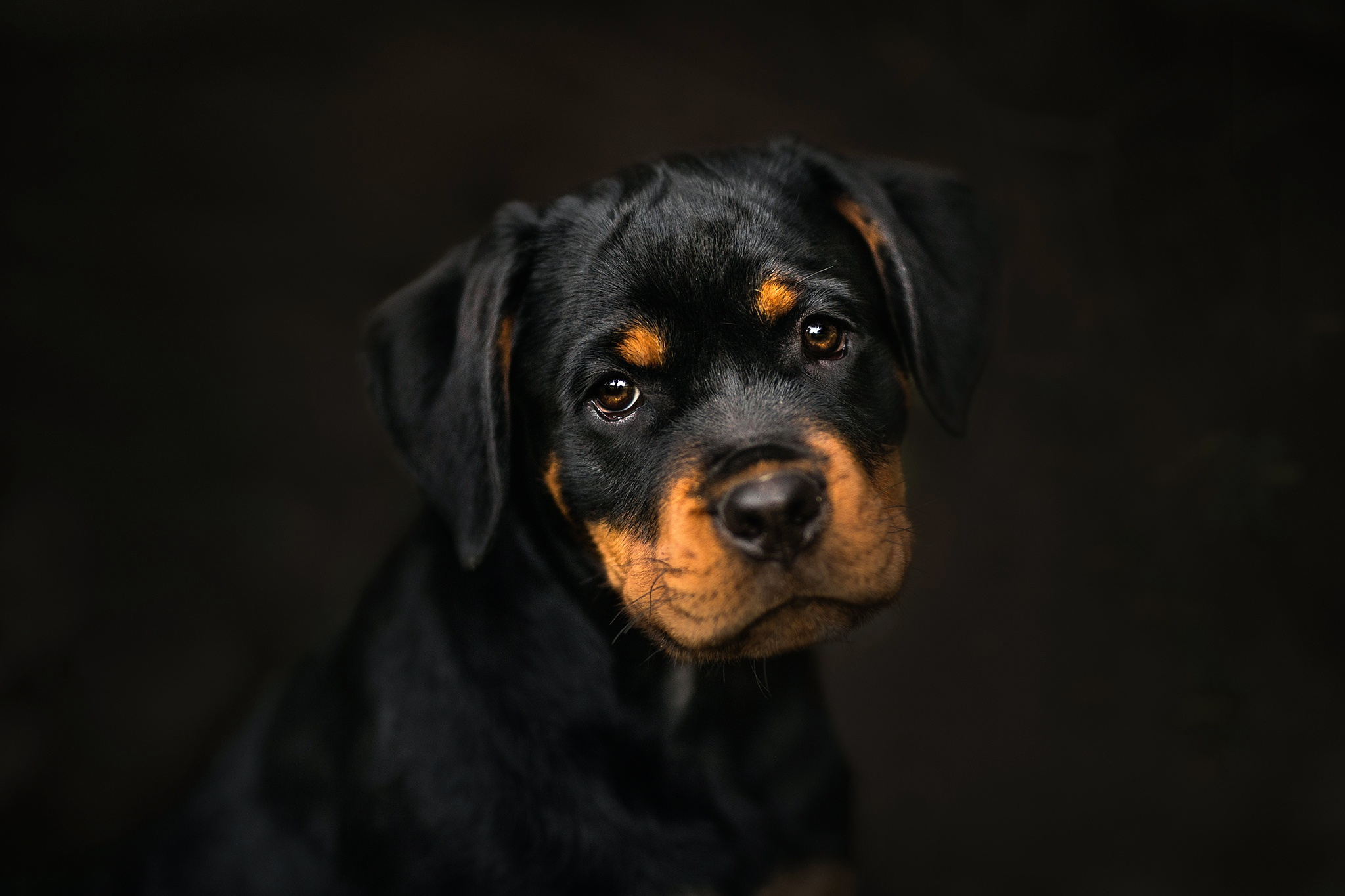 Rottweiler, HD Animals, 4k Wallpapers, Images, Backgrounds ...
