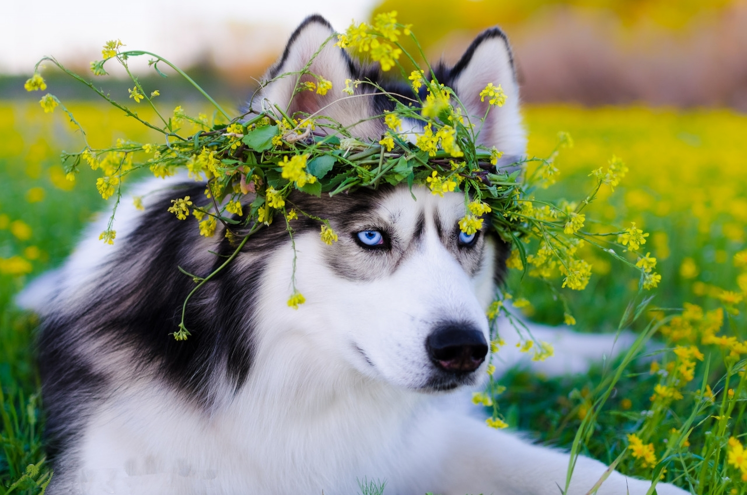 Animals Dog Filter Wallpapers Hd Desktop And Mobile: Siberian Husky Dog, HD Animals, 4k Wallpapers, Images