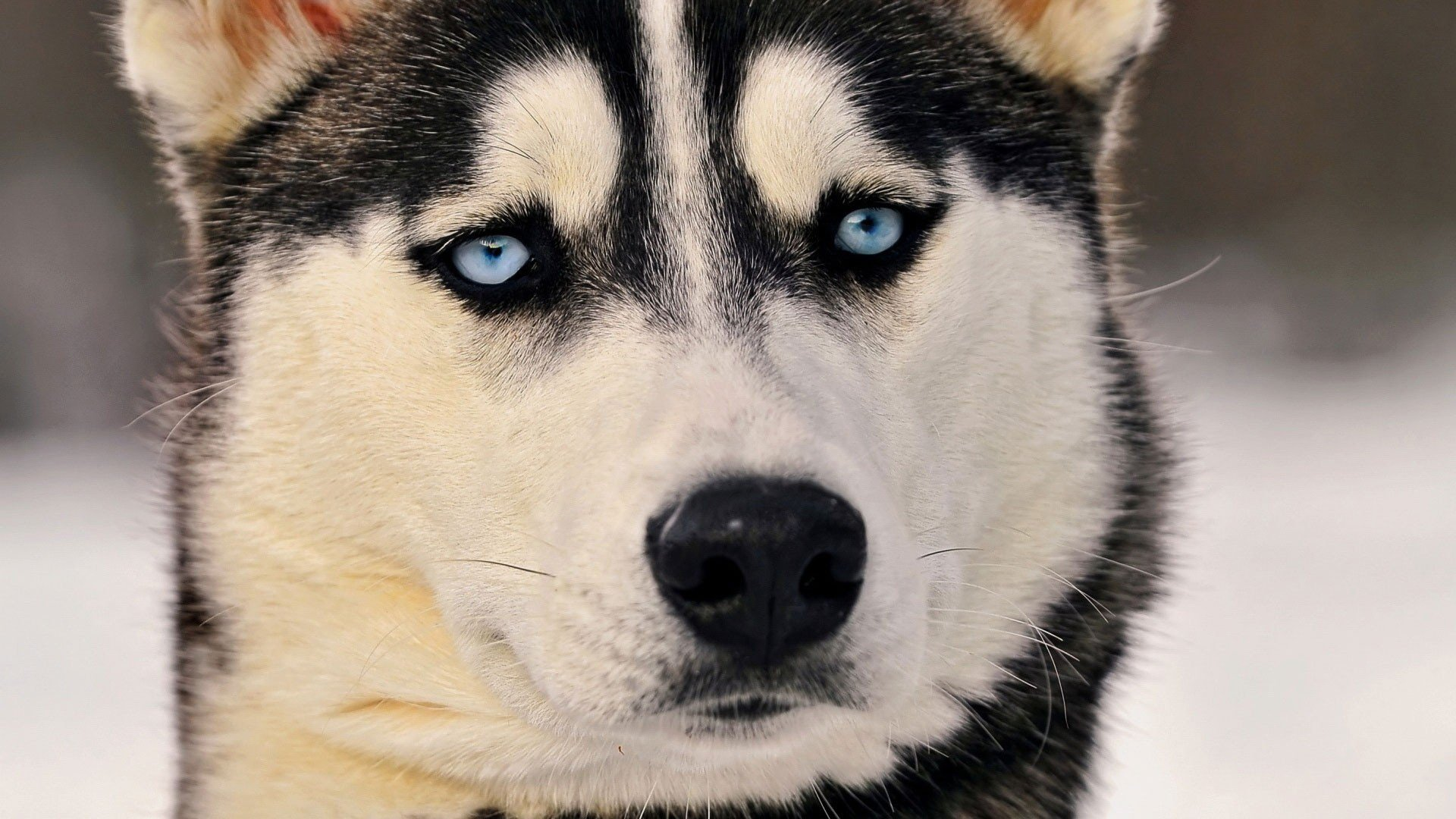 Siberian Husky Eyes Hd Animals 4k Wallpapers Images Backgrounds