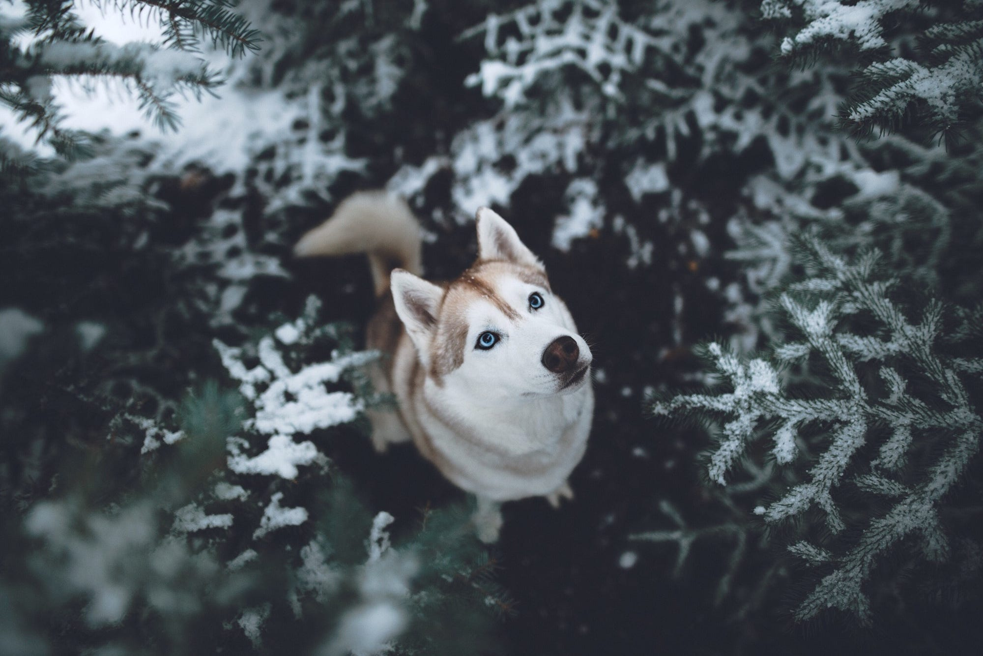 Animals Dog Filter Wallpapers Hd Desktop And Mobile: Siberian Husky HD, HD Animals, 4k Wallpapers, Images