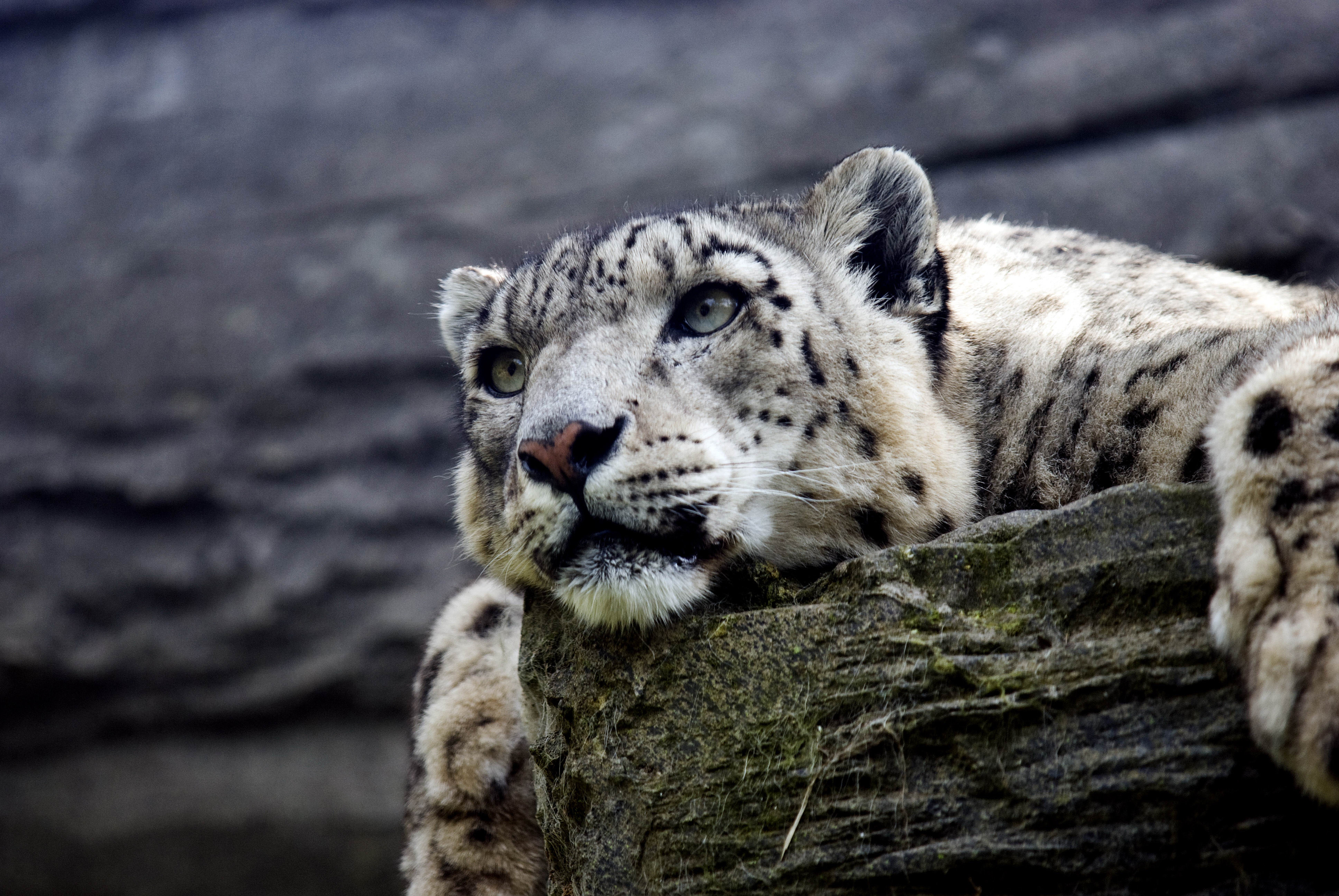 Snow Leopard Hd, HD Animals, 4k Wallpapers, Images ...