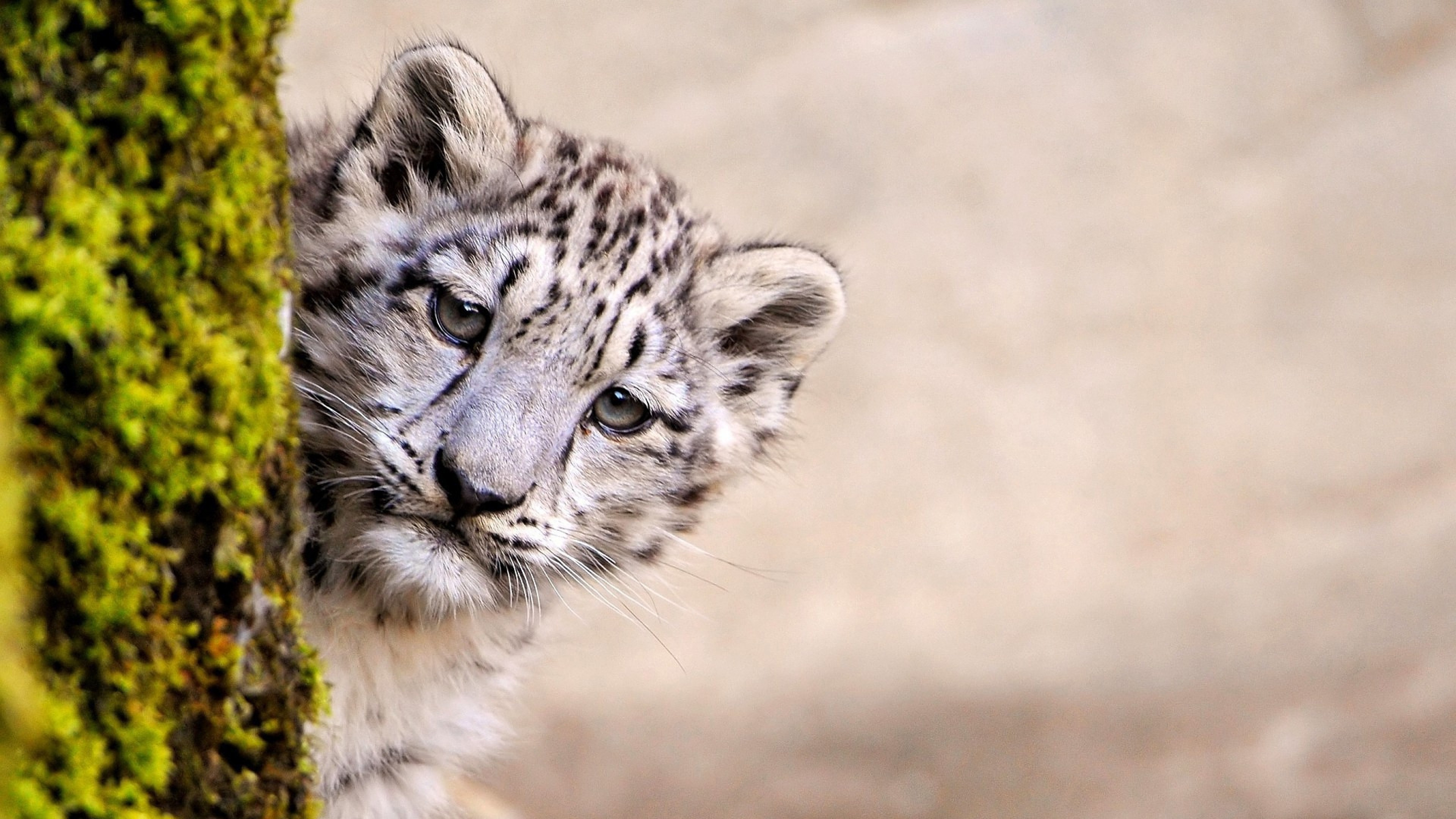 Snow Leopard Young 1366x768 Resolution