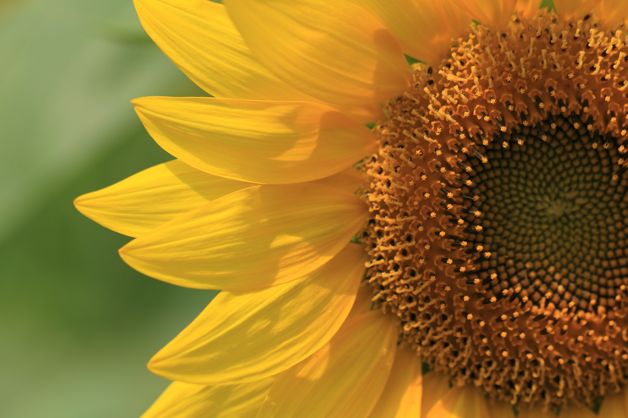 Sunflower Close, HD Flowers, 4k Wallpapers, Images ...