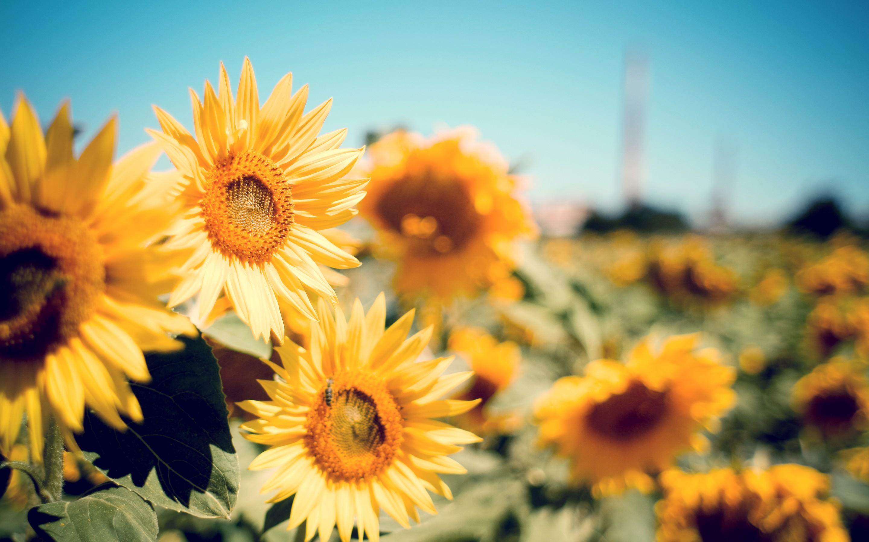 Sunflower Garden, HD Flowers, 4k Wallpapers, Images ...