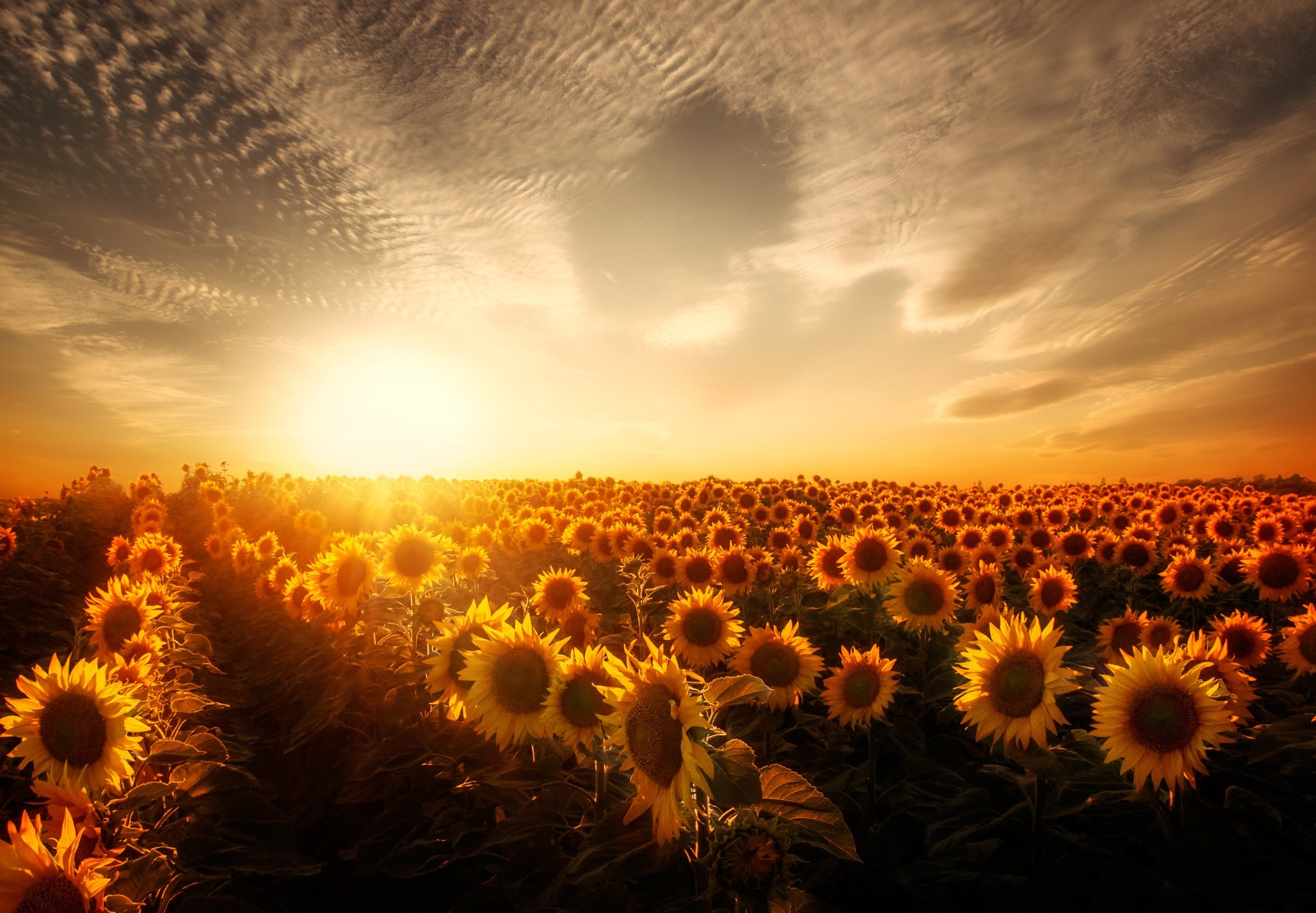 sunflowers sunset, hd nature, 4k wallpapers, images, backgrounds