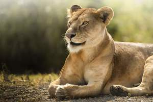 African Lion Hd Wallpaper