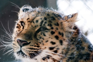 Amur Leopard Wild Cat Wallpaper
