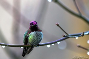 Annas Hummingbird Wallpaper