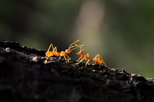 Ant Macro Wallpaper