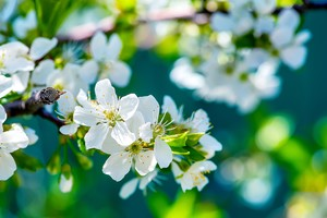 Apple Flowers Wallpaper