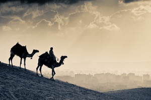 Arab People Camels