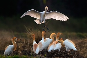 Asian Openbill Wallpaper