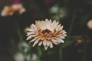 Aster Flowers Wallpaper