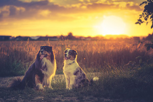Australian Shepherds HD Wallpaper